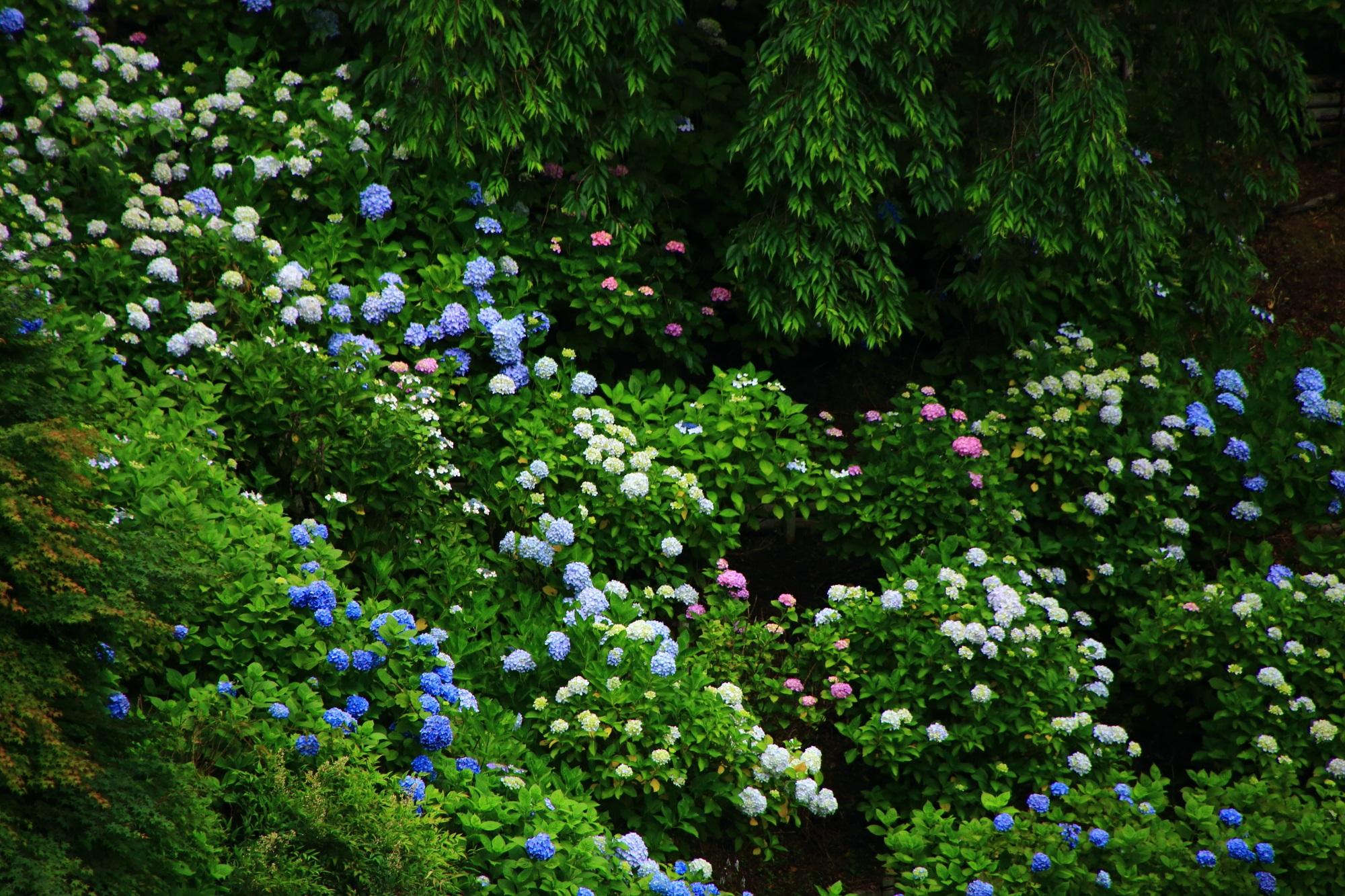 賑やかに咲く色とりどりの善峯寺の紫陽花