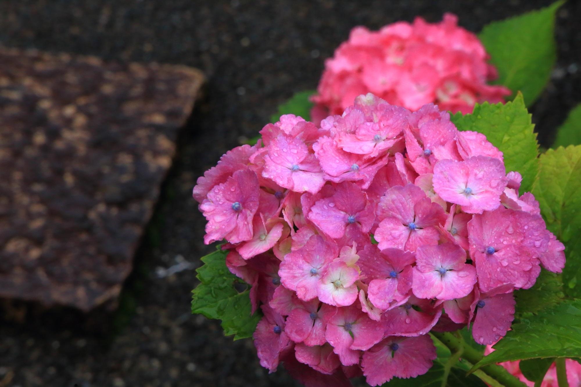 雨がやっぱり似合う善峯寺の紫陽花