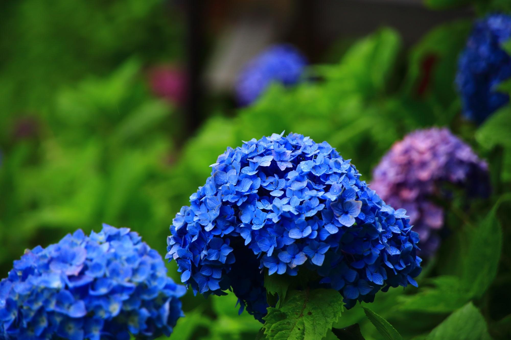 善峯寺のあじさい苑の多種多様な紫陽花