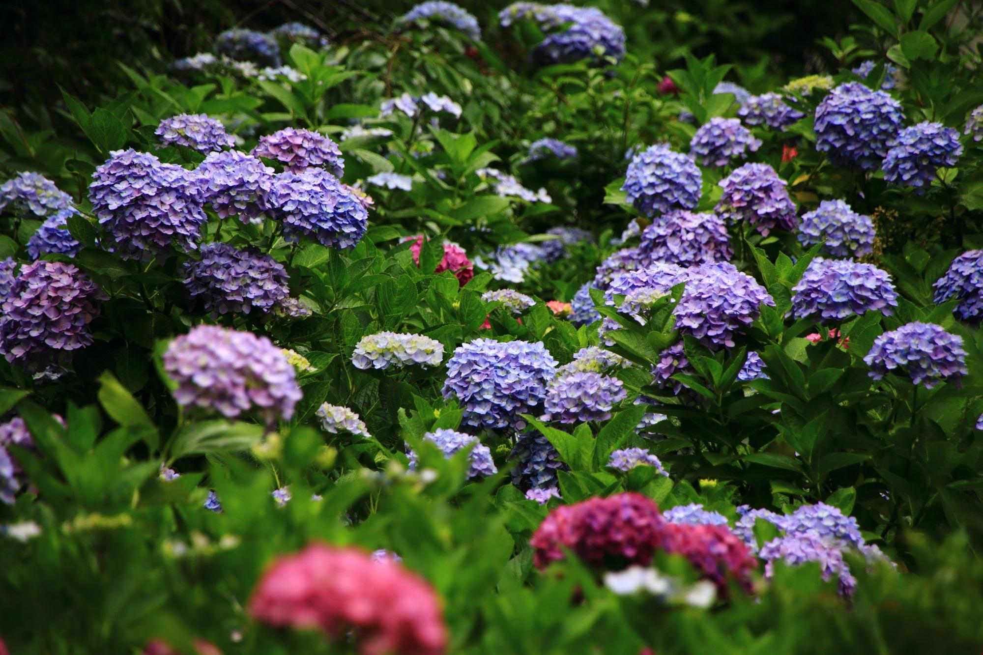 緑の中から浮かび上がるような華やかな紫陽花