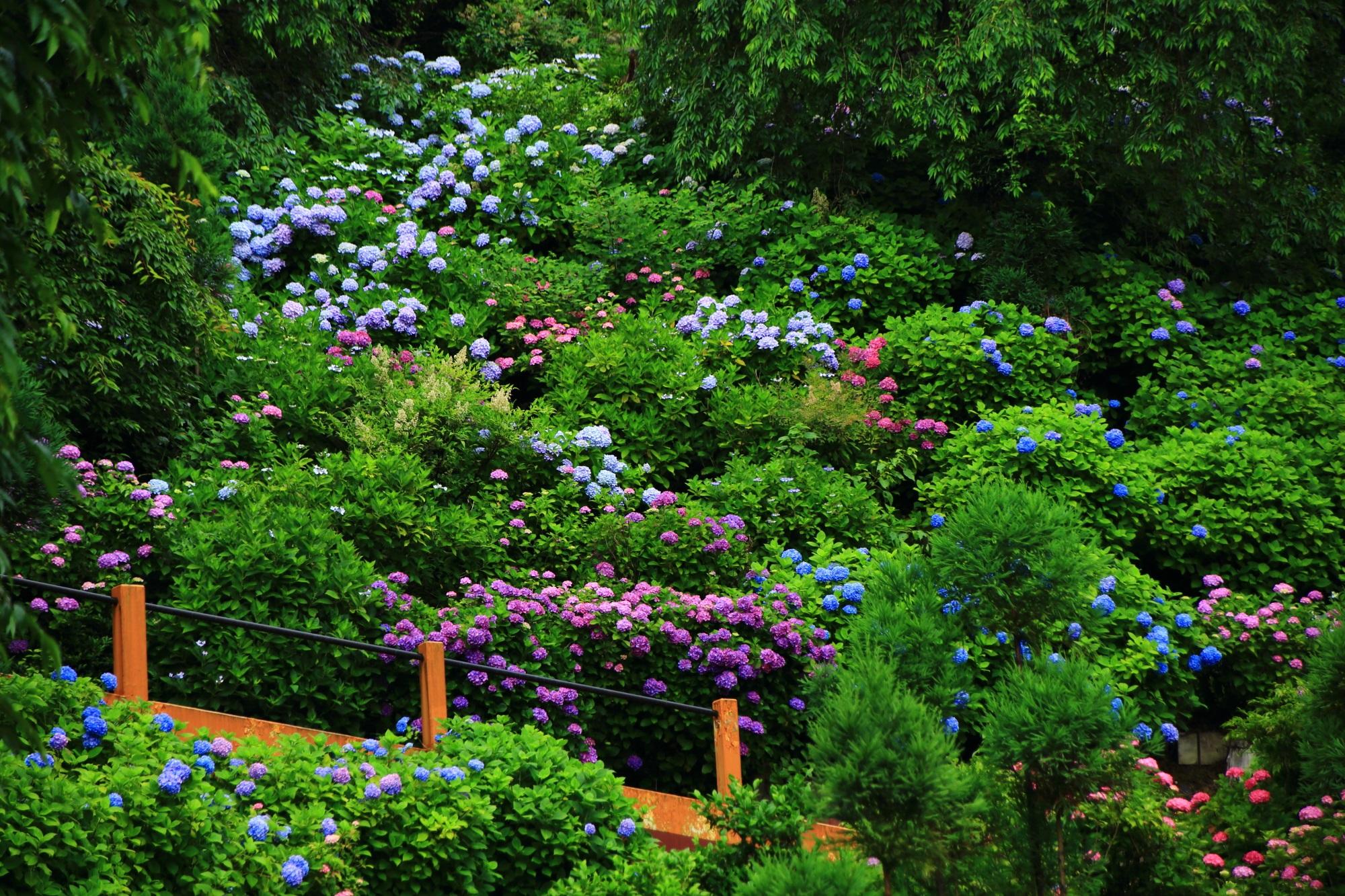 京都洛西の紫陽花の名所の善峯寺(よしみねでら)