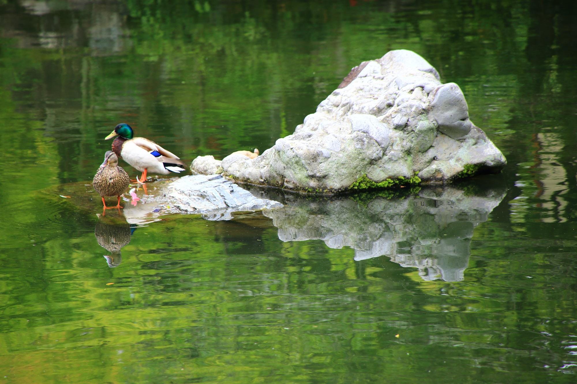 永観堂の放生池の鴨