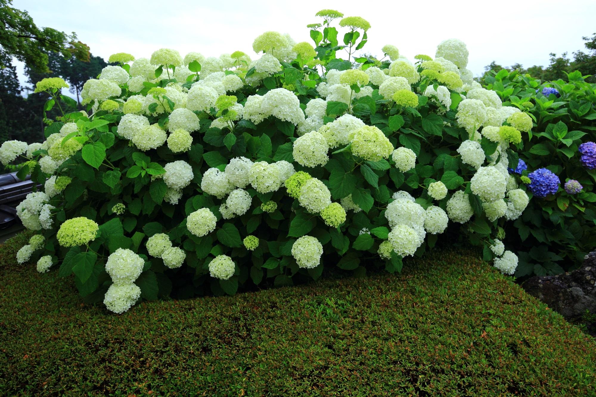 善峯寺の釈迦堂前の爽やかな白い紫陽花