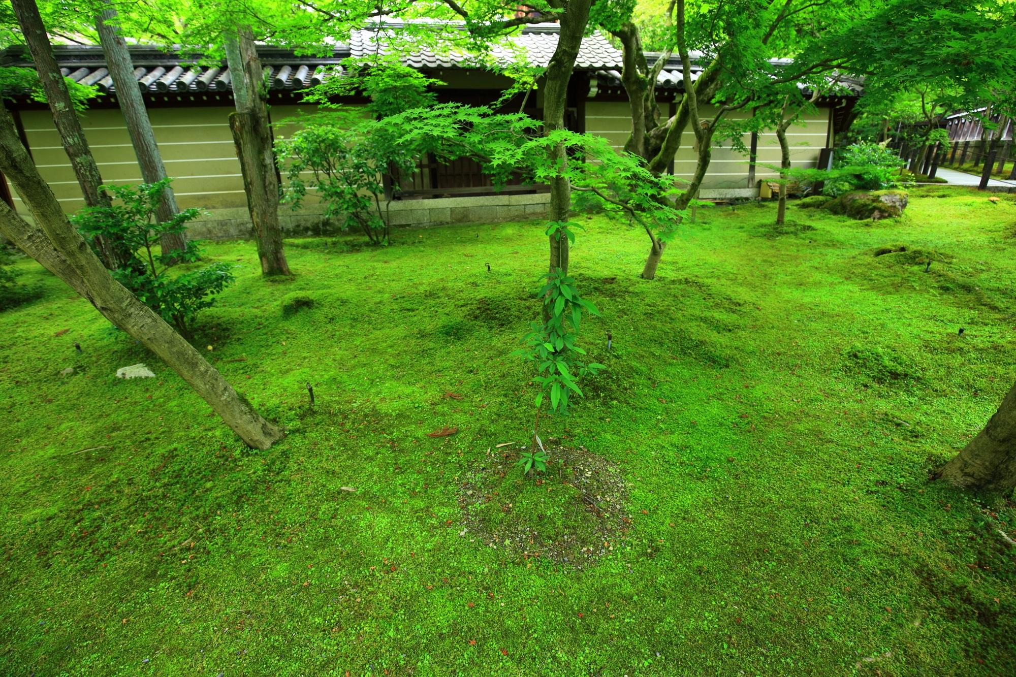 もみじの名所の永観堂の鮮やかな緑の苔