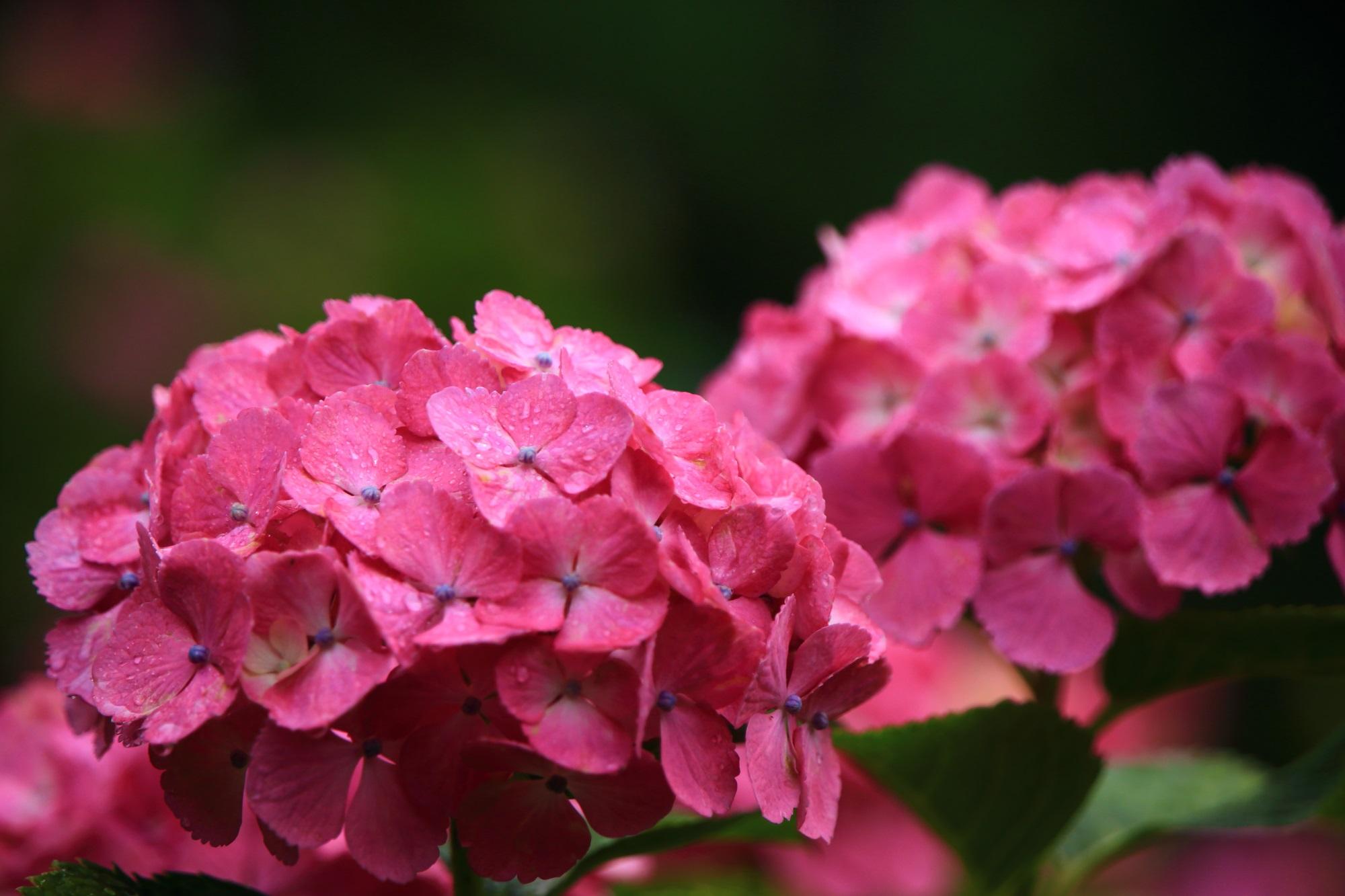 善峯寺の雨で輝くビビッドなピンクの紫陽花