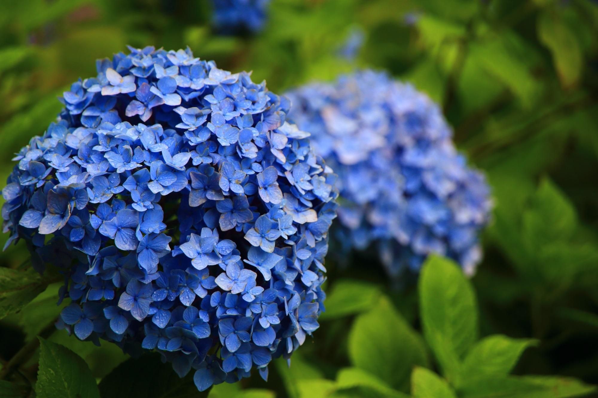 善峯寺の一輪一輪個性溢れる紫陽花の花