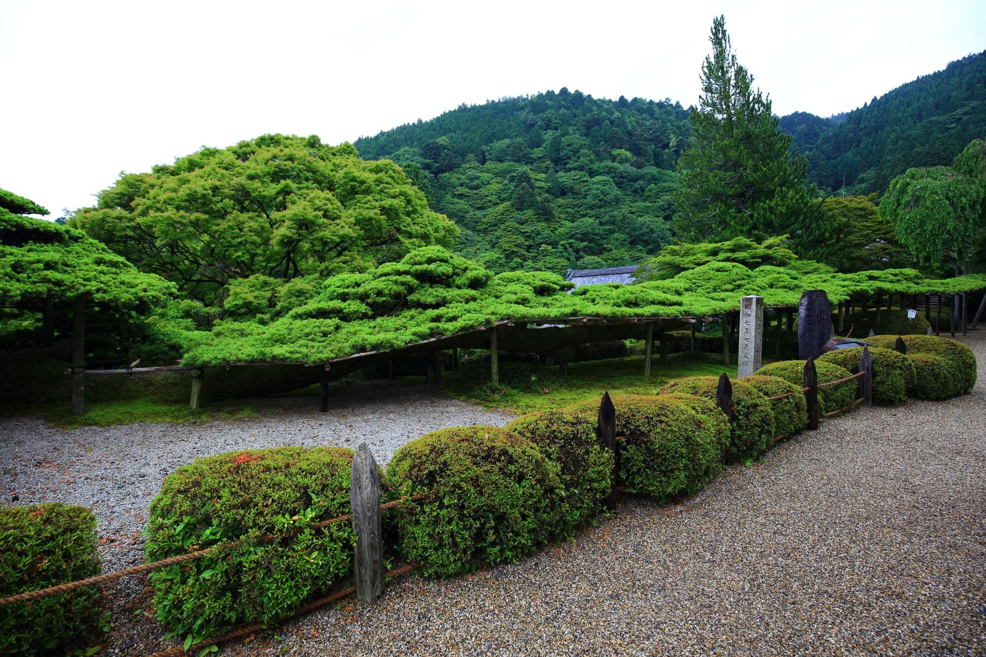 国の天然記念物に指定され樹齢600年と言われる善峯寺の遊龍の松