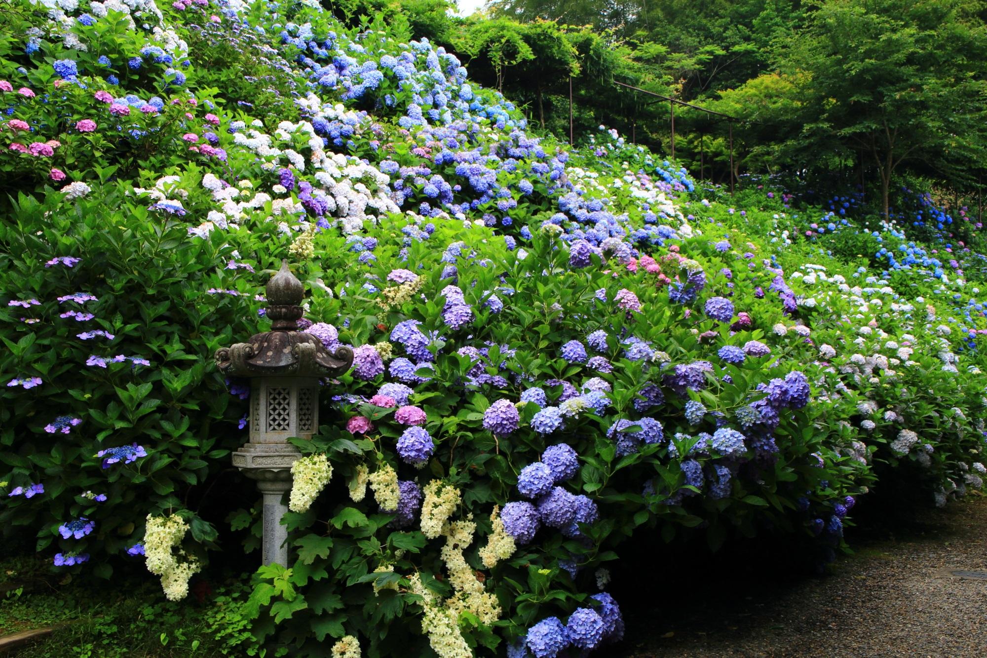 丹波あじさい寺の初夏の彩り
