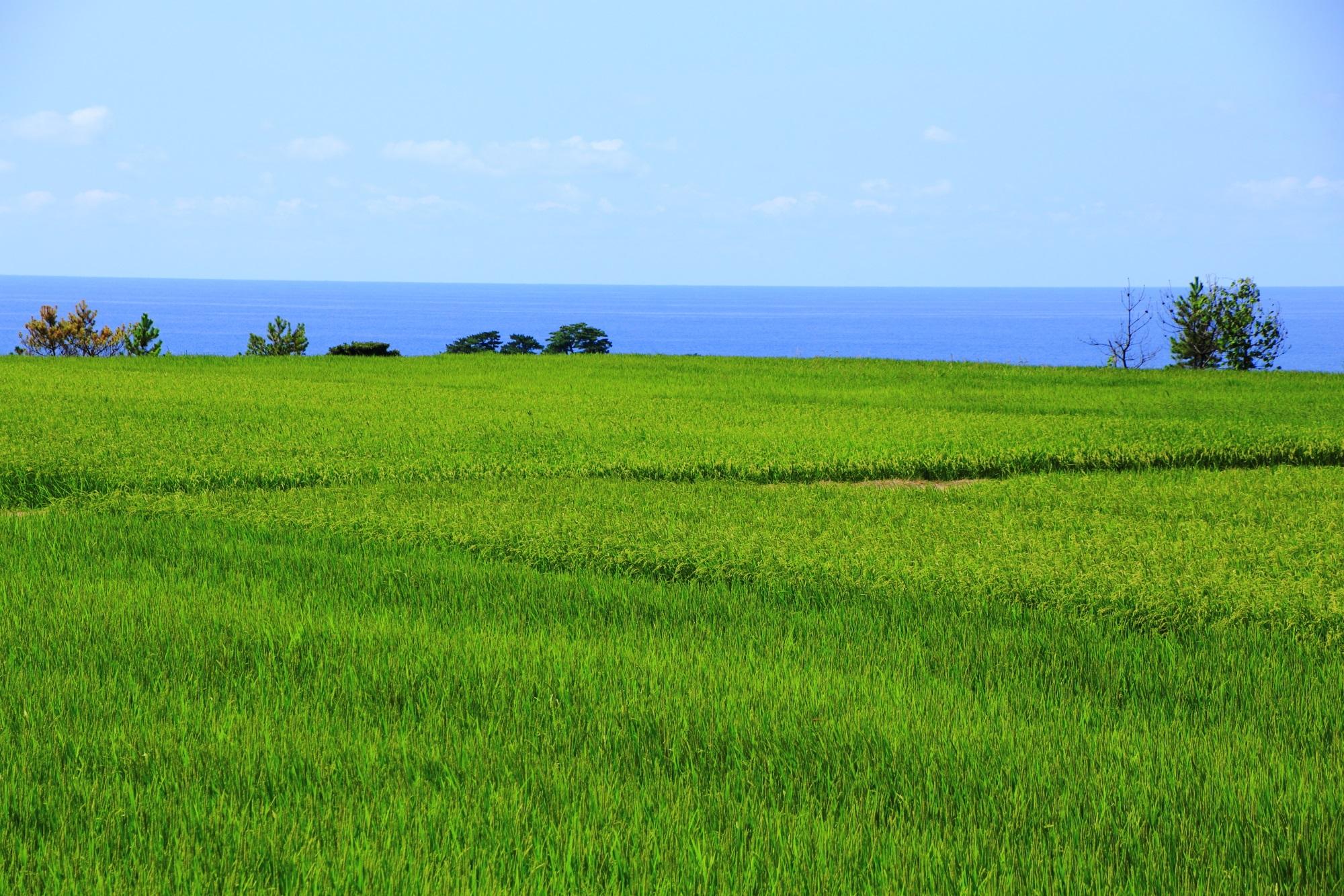 京丹後の爽やかで清々しい田んぼの緑と青い海