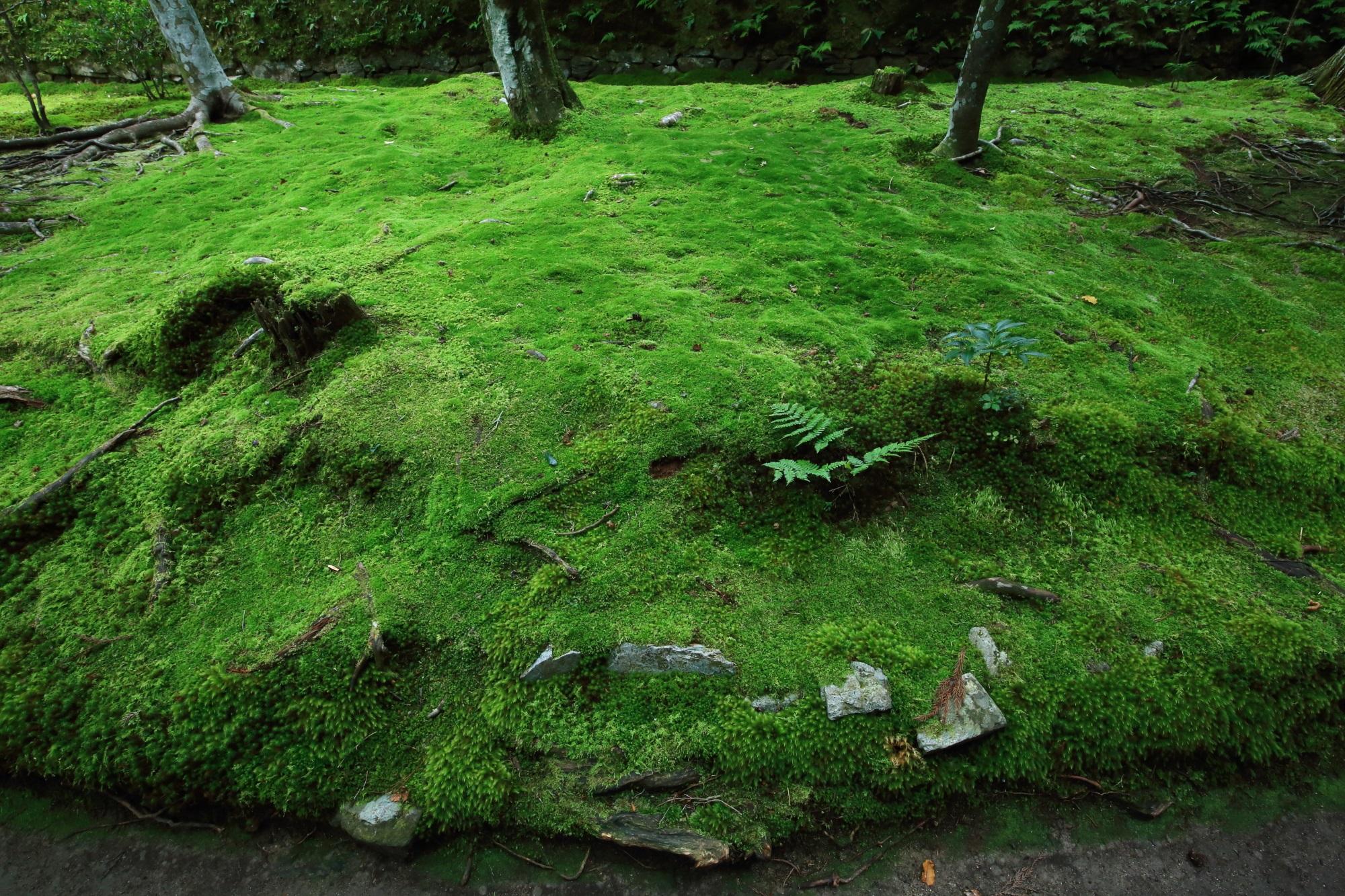 Kyoto Honenin-Tempel moss green