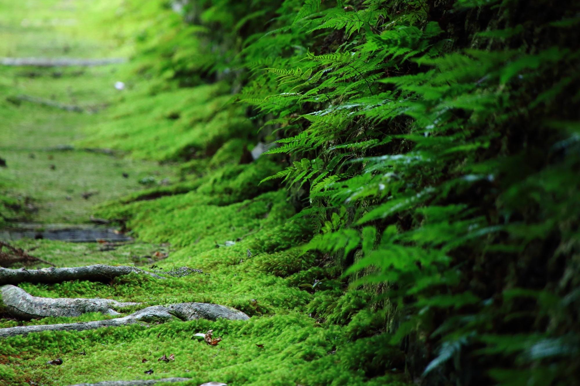 シダ 法然院 鮮やか 緑