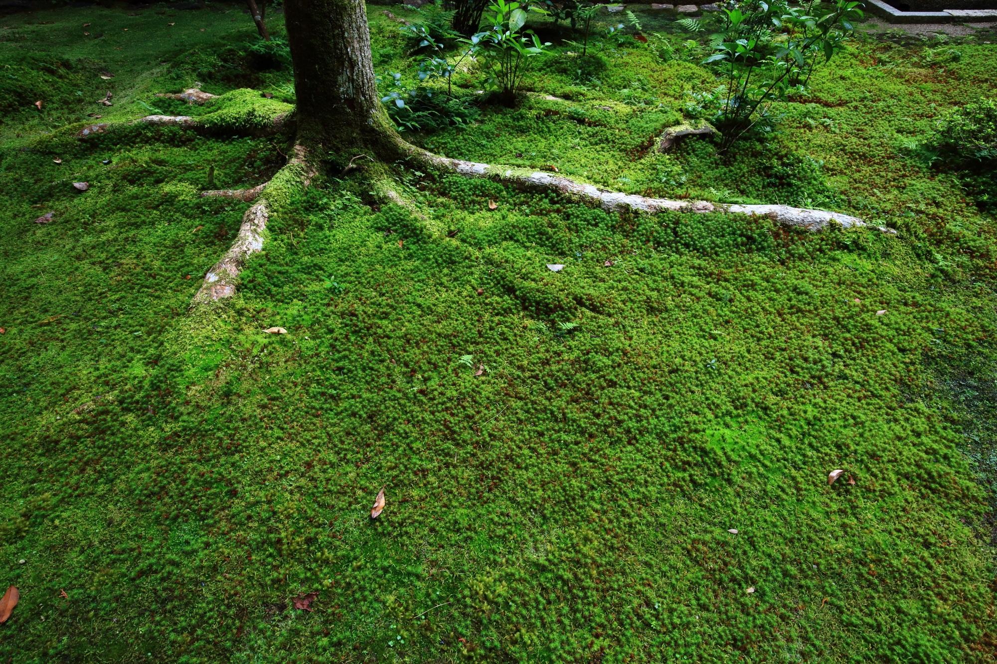 古風 法然院 苔 緑