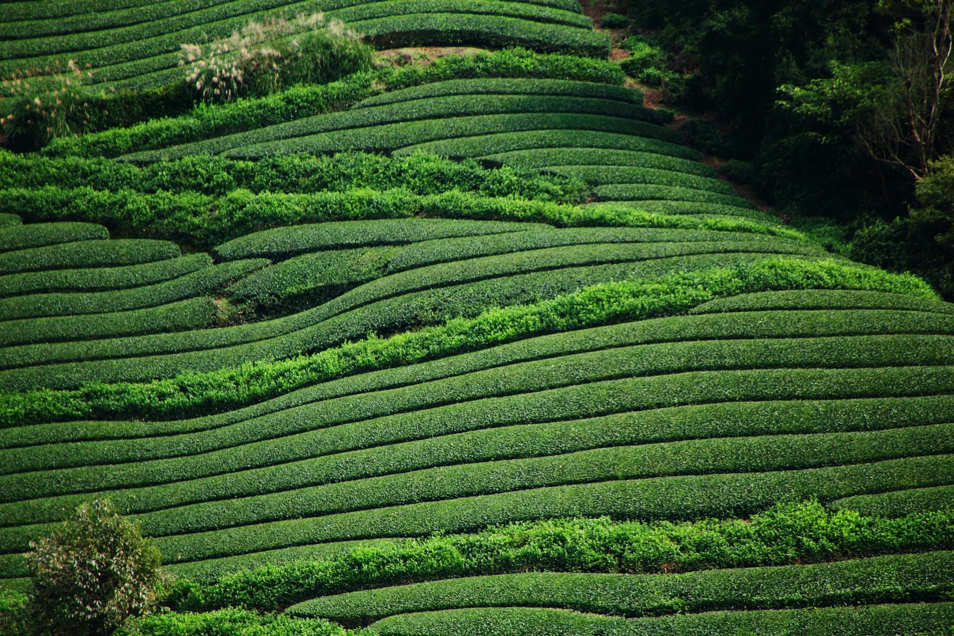 和束町の石寺の滑らかに波打つ見事なお茶畑