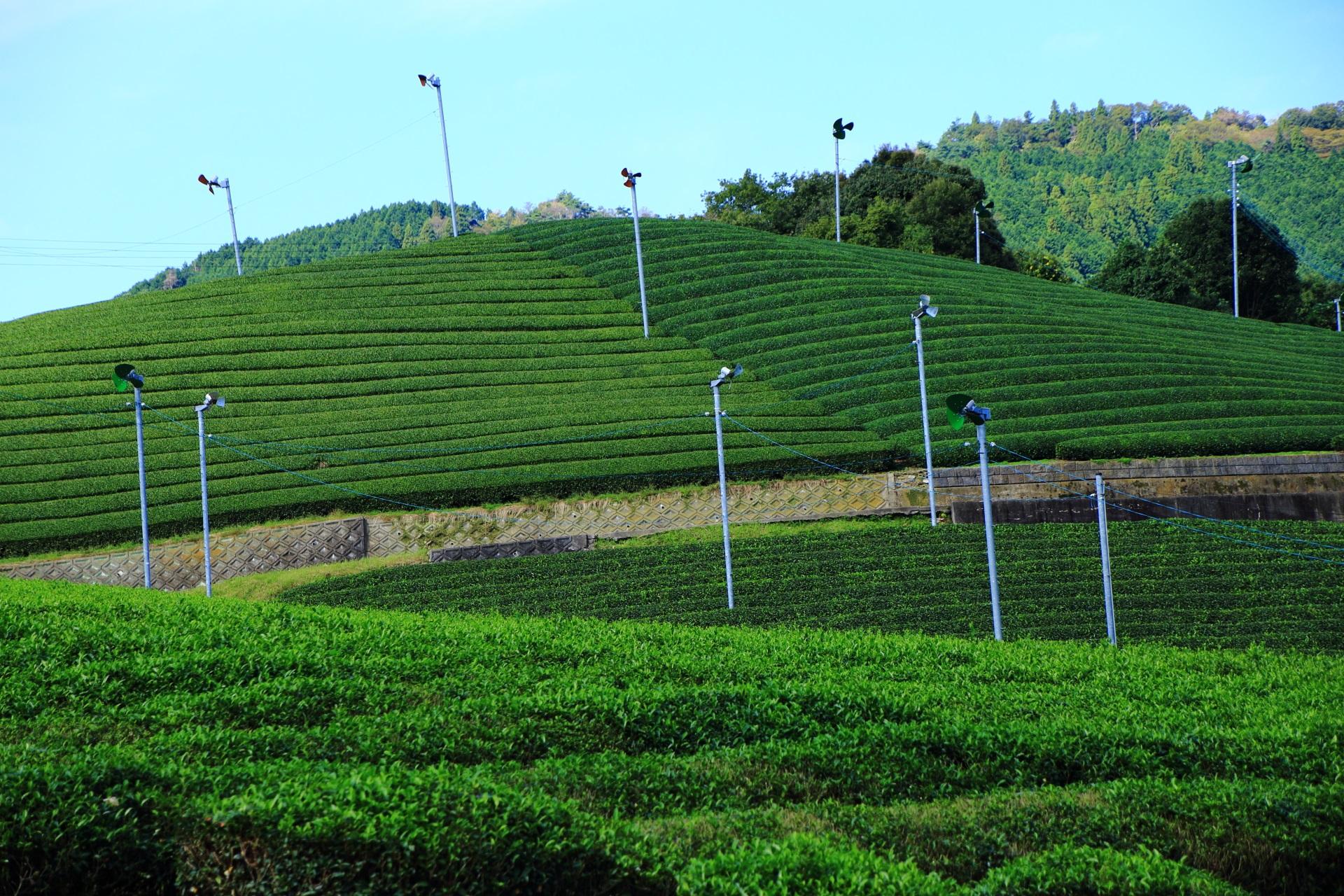 清々しい青空と空気につつまれた一面に広がるお茶畑