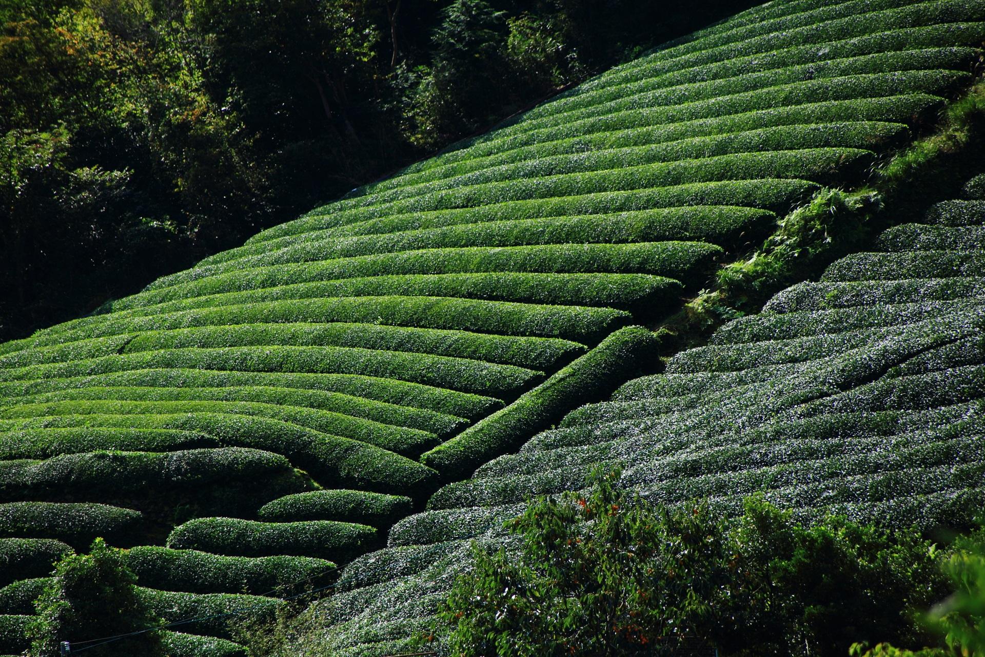 絶妙の丸みを帯びた深い緑のお茶畑