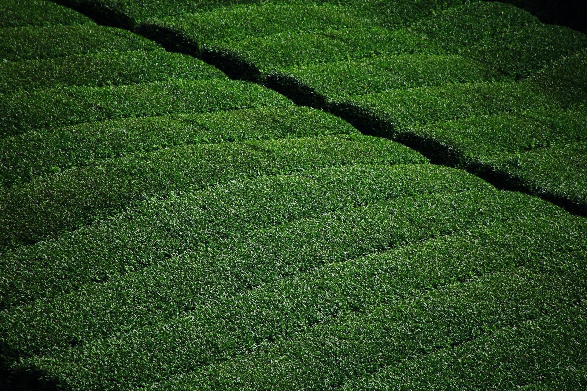 落ち着きの中にも輝きのある緑色の茶畑
