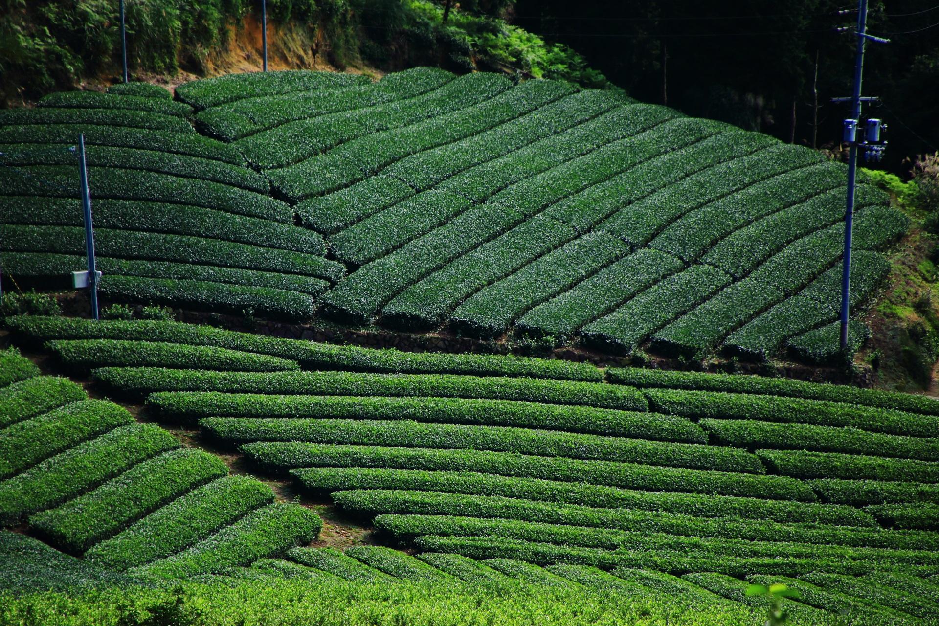 厳選のお茶畑の景色