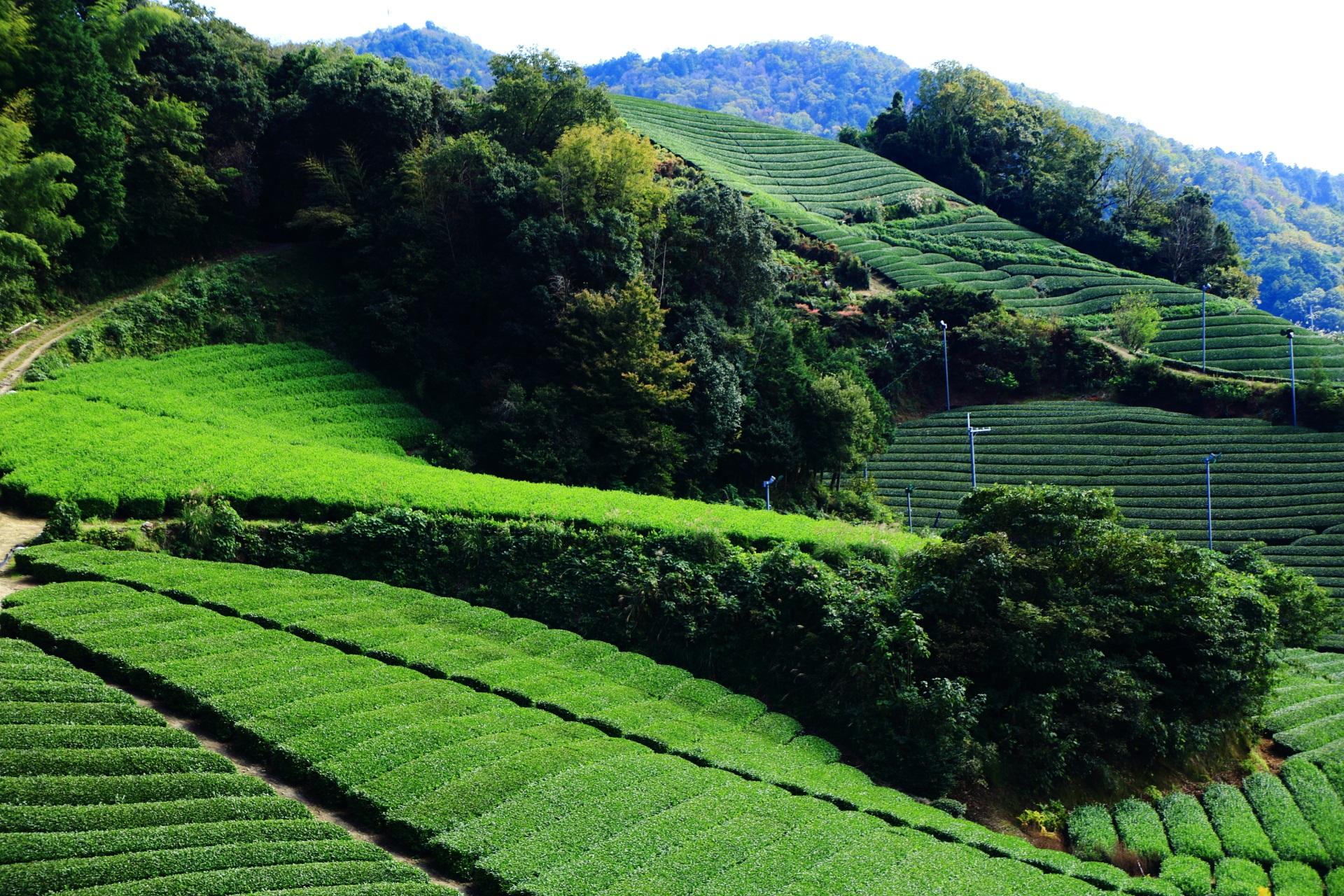 和束町を代表するお茶畑の名所の石寺地区のお茶畑