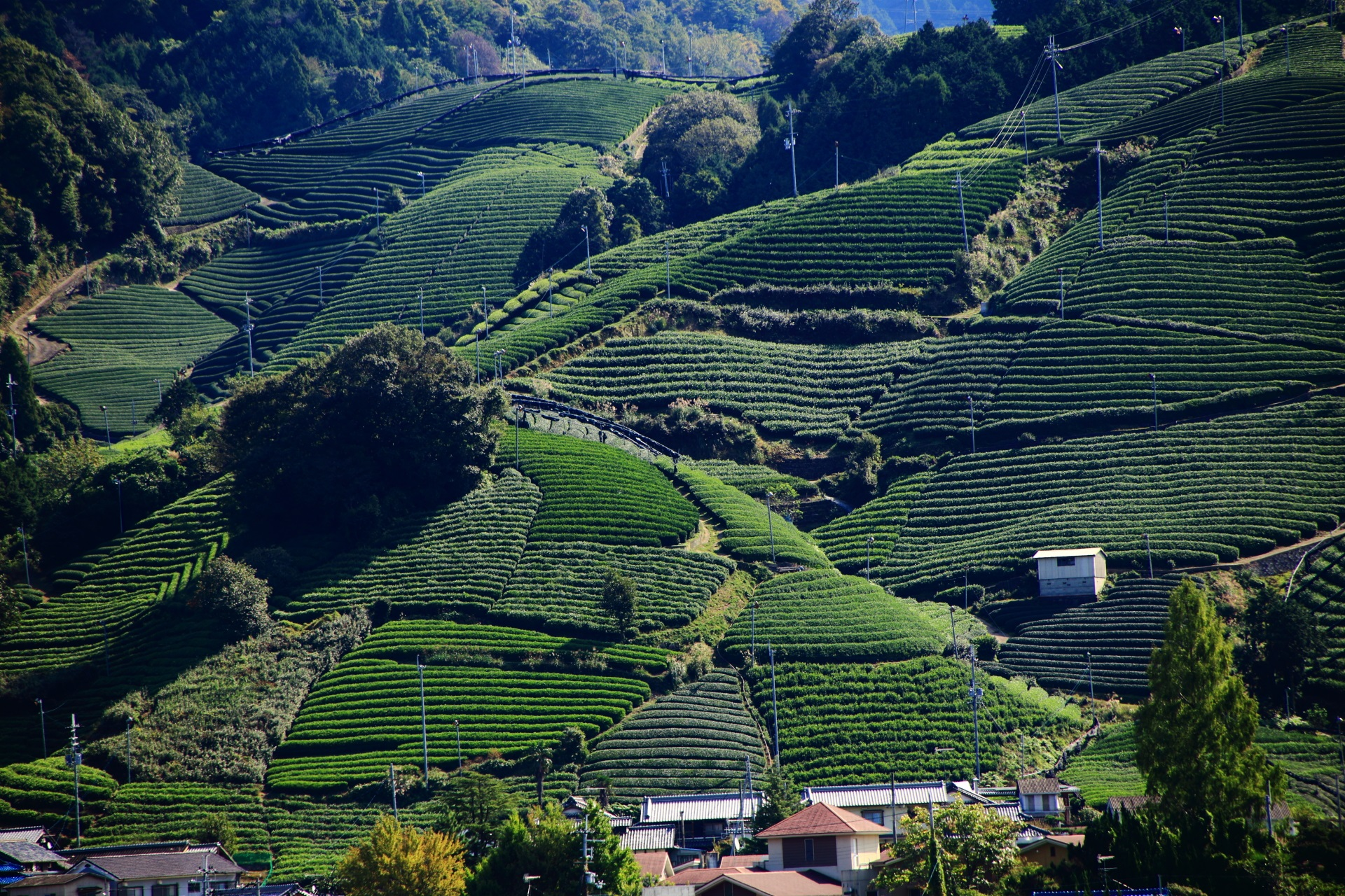 いろんな形のお茶畑が密集する釜塚地区