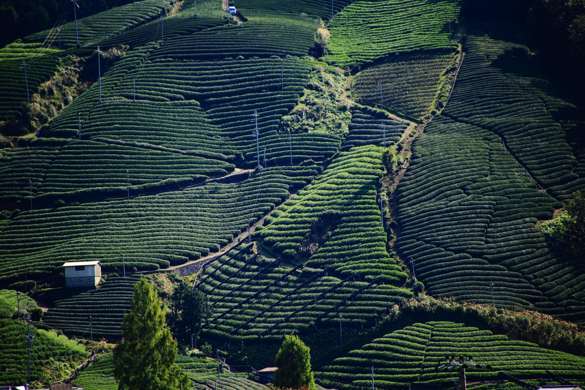 結構な急勾配と思われる斜面にも見事に作られるお茶畑