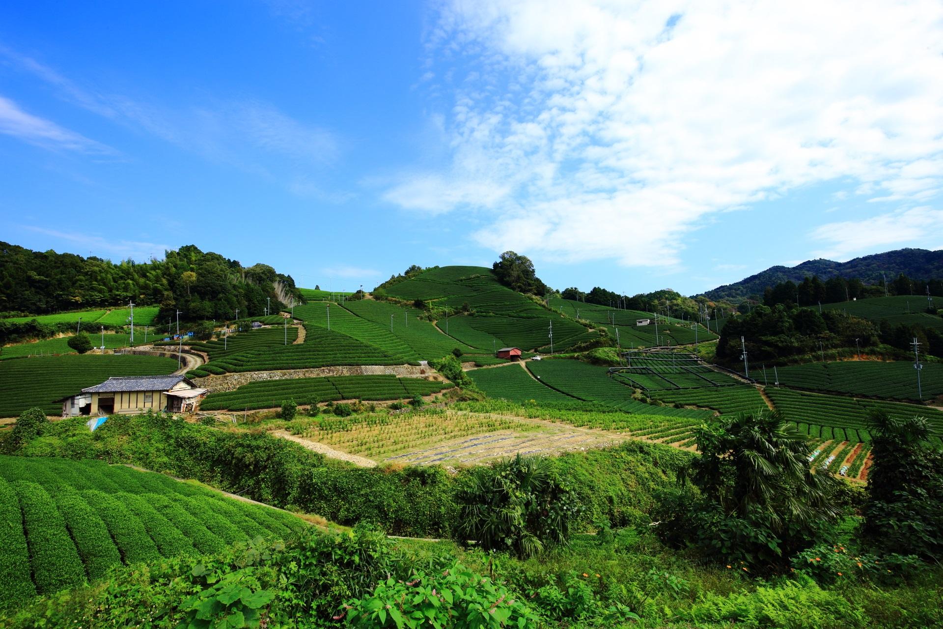 場所を移動すると見え方も違ってくる和束町石寺の茶畑