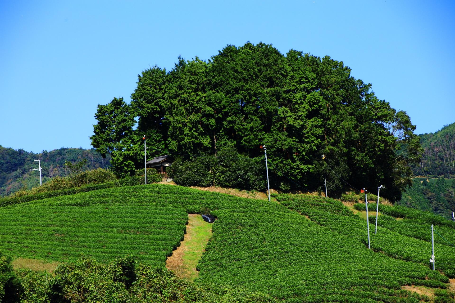 安積親王陵墓と白栖地区や釜塚地区の素晴らしいお茶畑