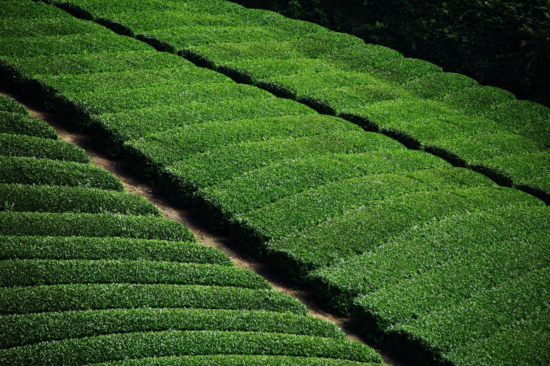 緑の絨毯のような絶品のお茶畑