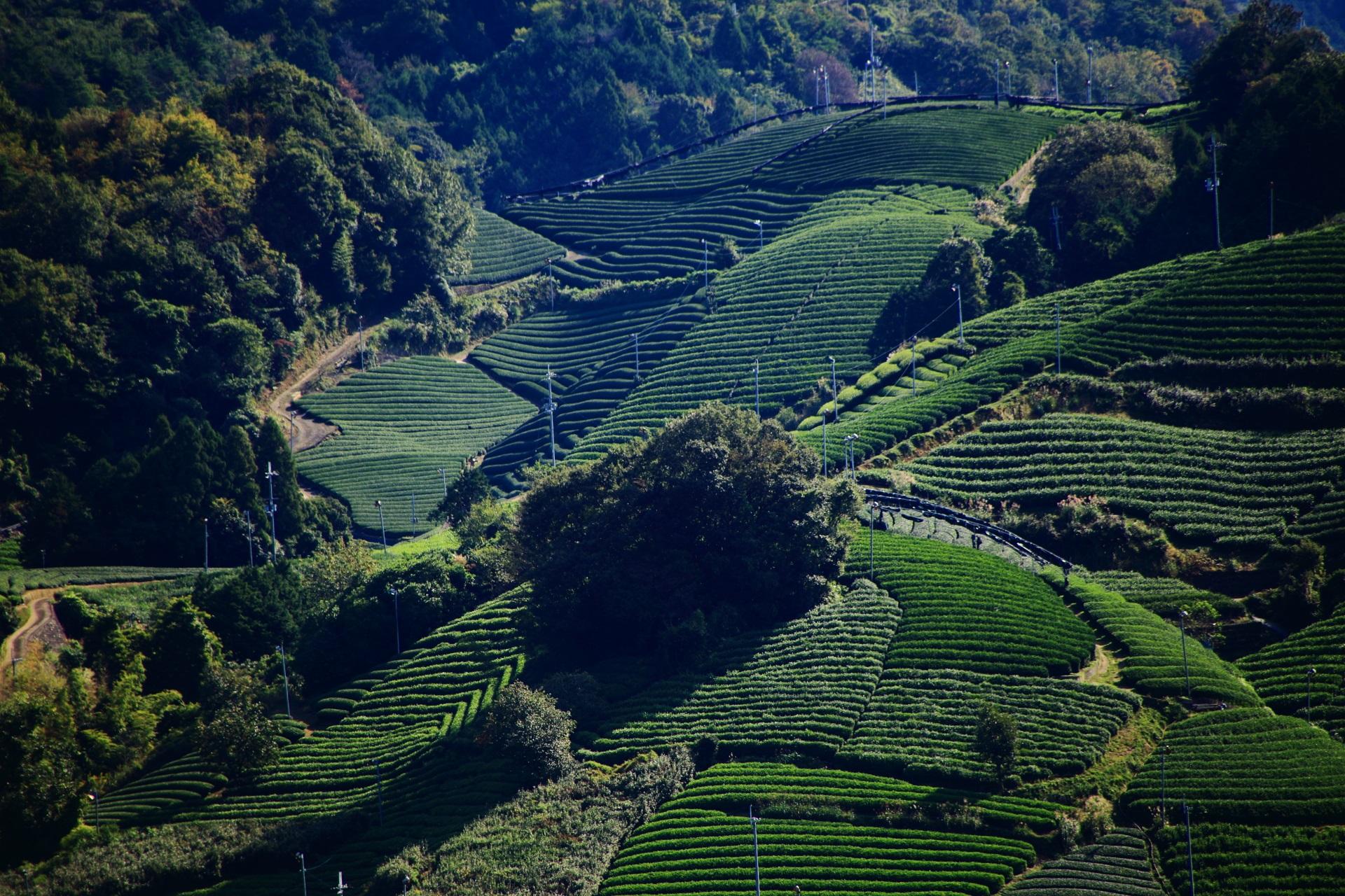 鮮やかな緑色から深い緑色まで色んな緑色で賑わう和束町の茶畑