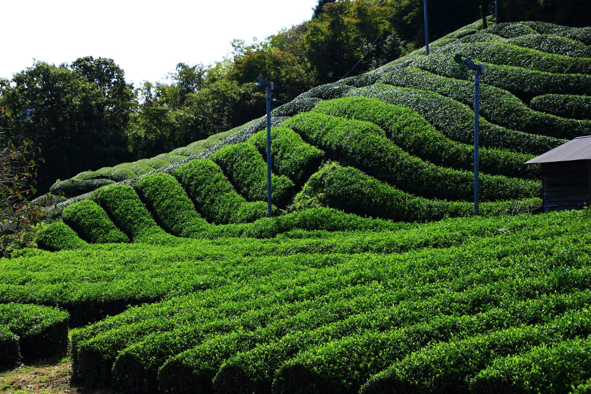 一部の名所だけではなく町中に素晴らしいお茶畑がある和束町