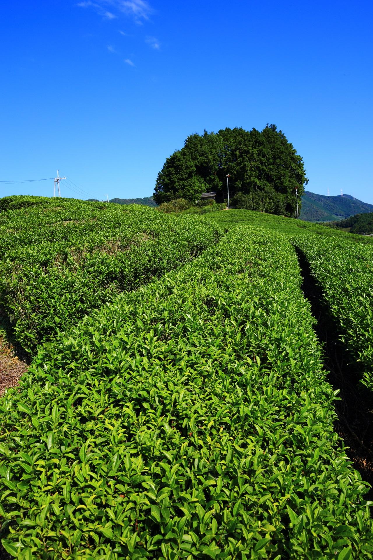 爽快な景色と眺めの太鼓山と呼ばれる安積親王陵墓の茶畑
