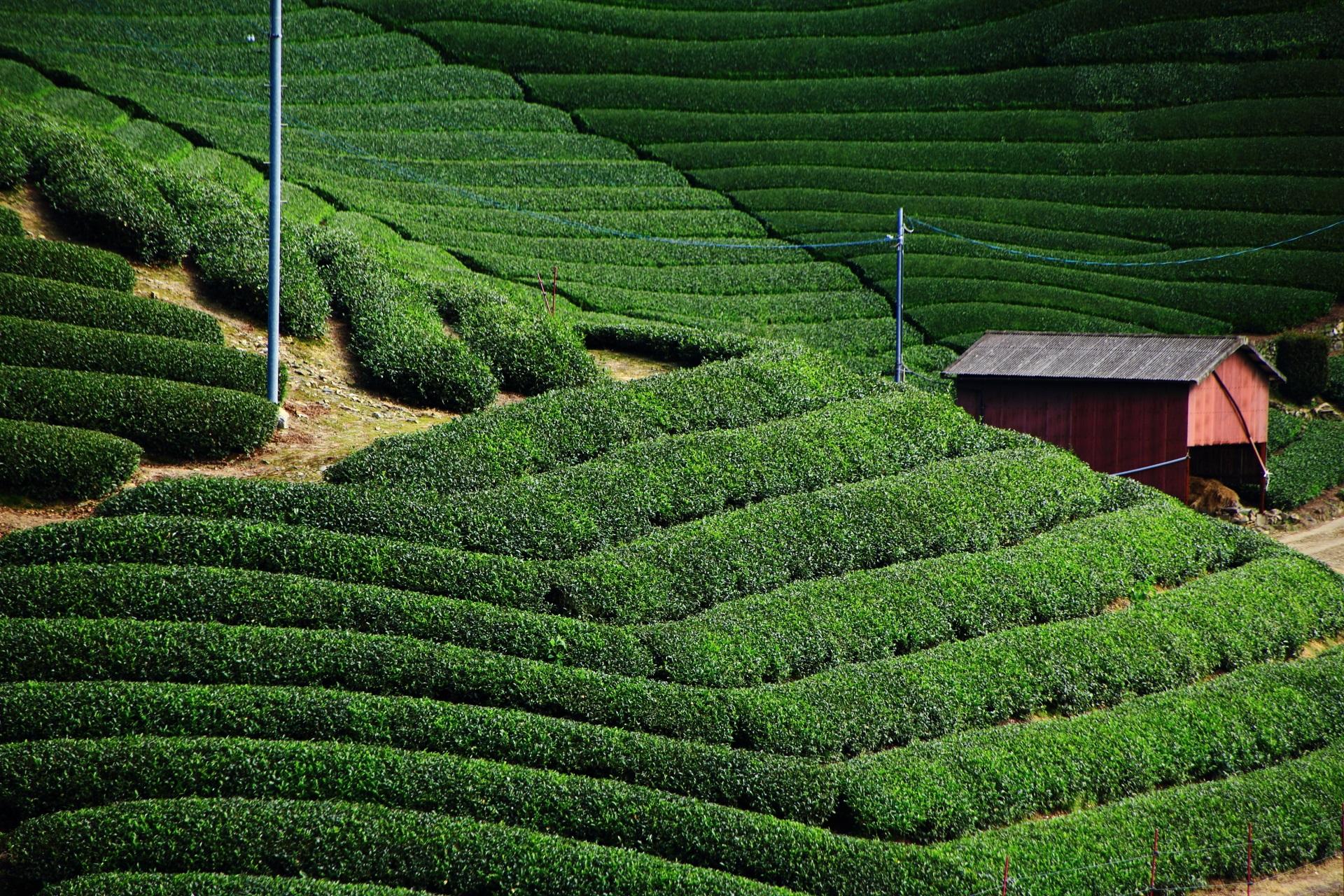 良い雰囲気を醸しだす茶畑の中にある小屋