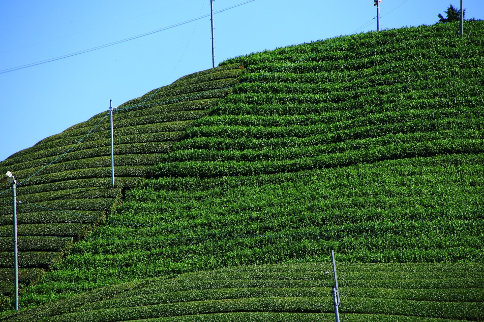いっぱいある煌びやかな見事なお茶畑