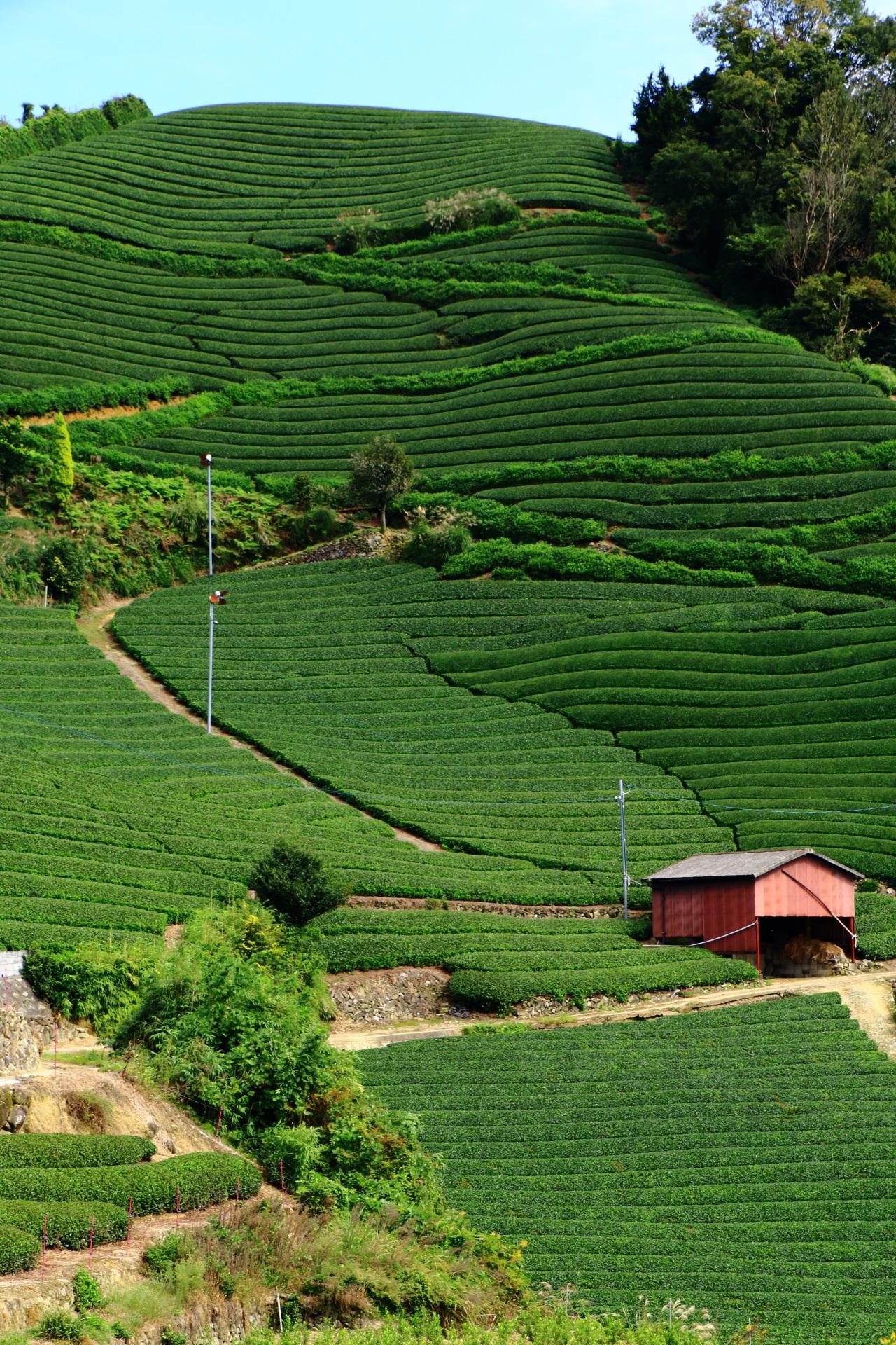 天晴れな和束町石寺地区のお茶畑の絶景