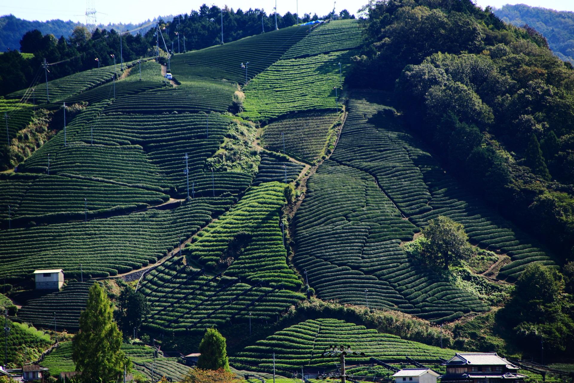 隙間なくお茶畑が作られる山の表面