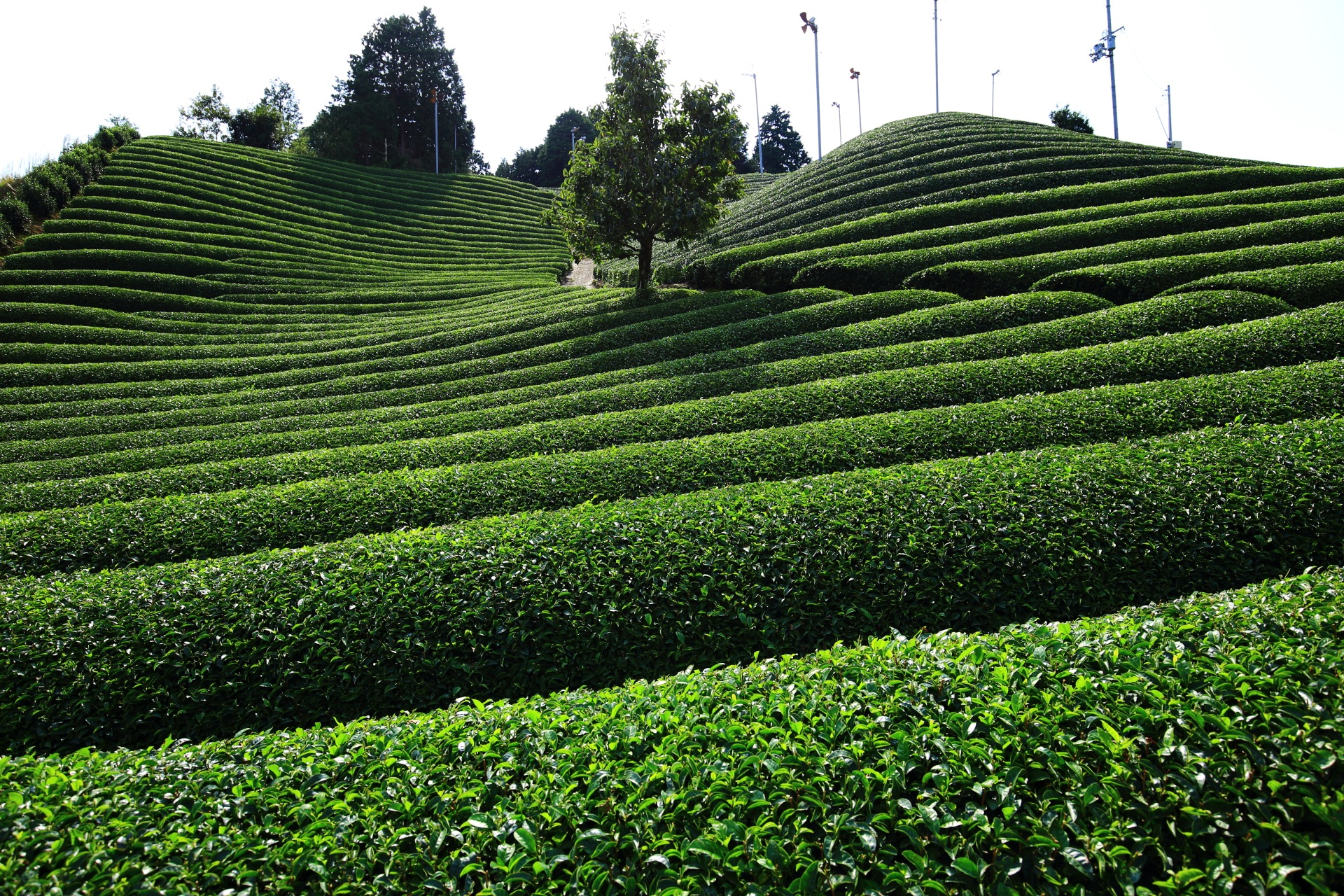 白栖(しらす)地区のお茶畑