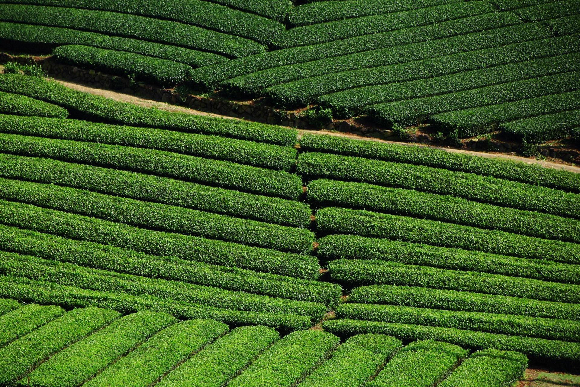 いろんな向きの緑のお茶畑ロール