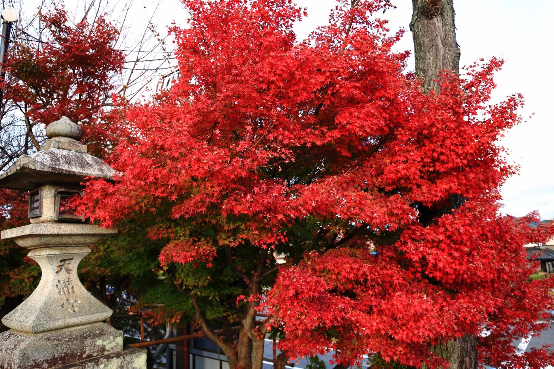 長岡天満宮の大鳥居付近の鮮やかな紅葉