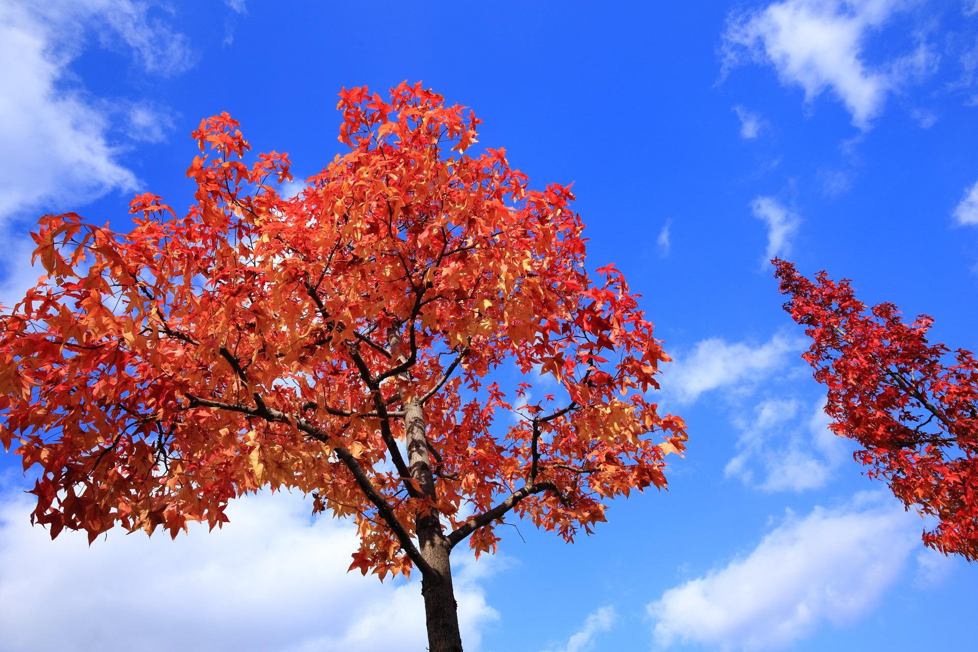 秋の空と雲を綺麗に華やぐ二条城外の街路樹
