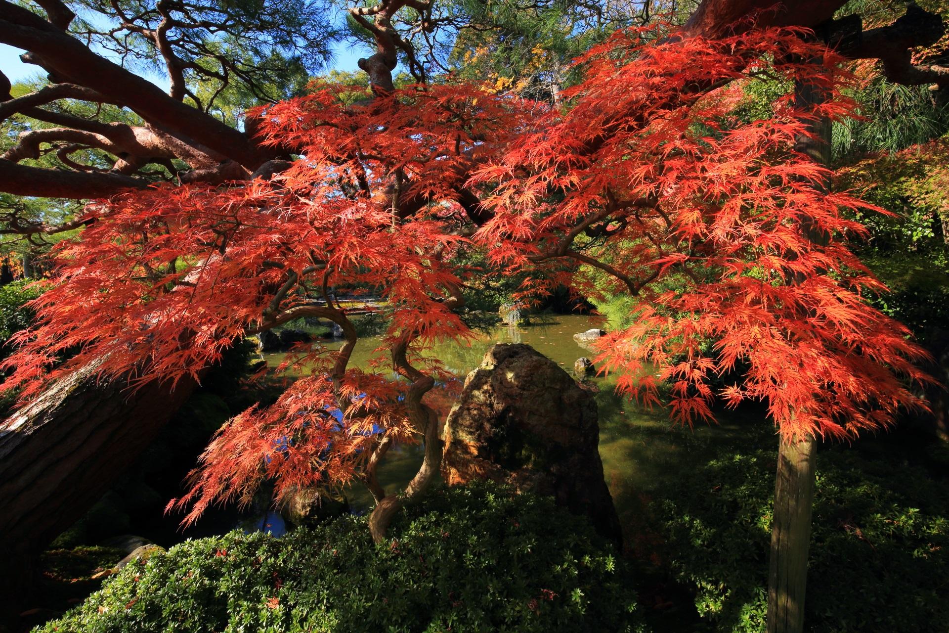 秋風にそよぐ細く繊細な葉の紅葉