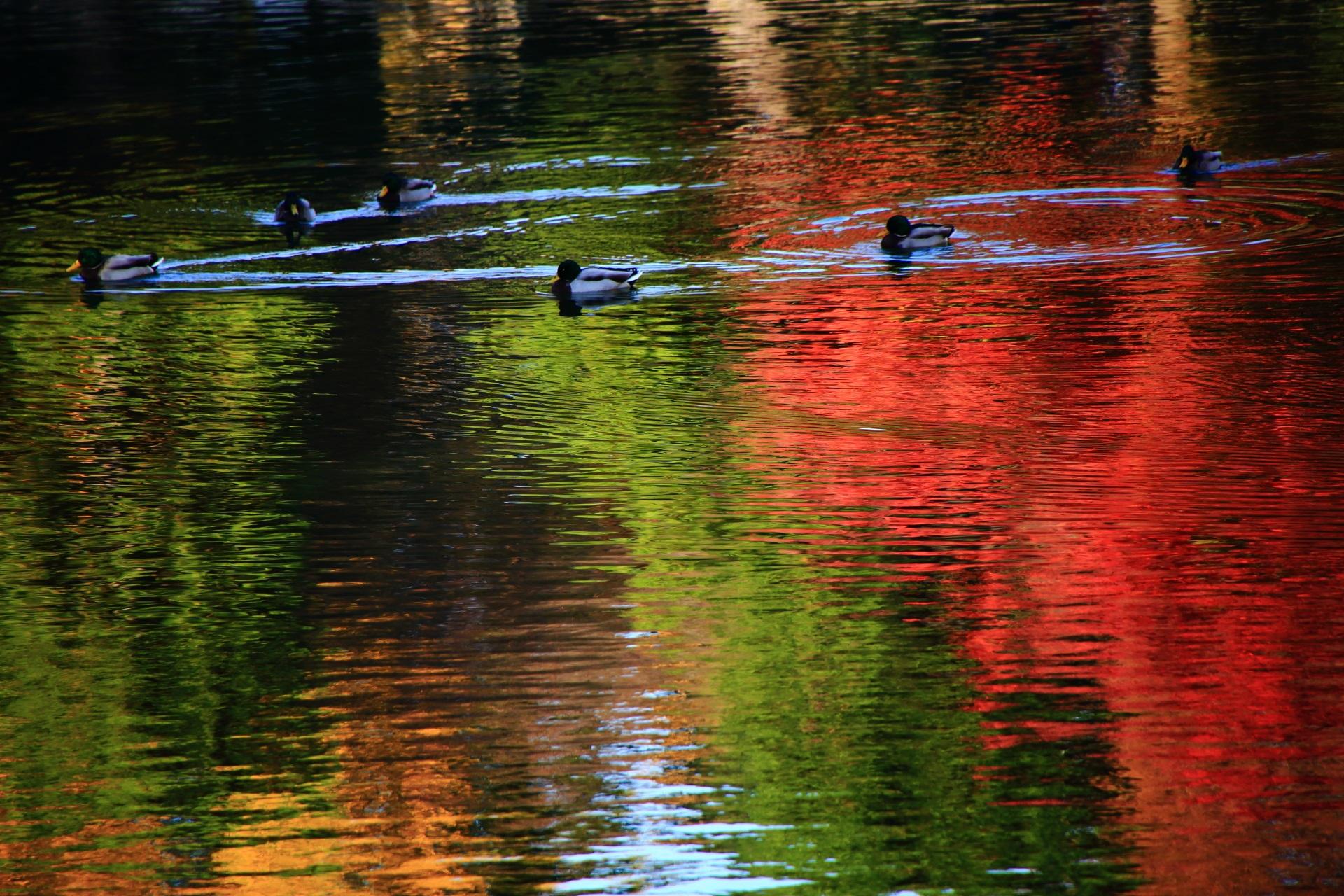 二条城の煌びやかな水鏡の上を泳ぐ鴨さんたち