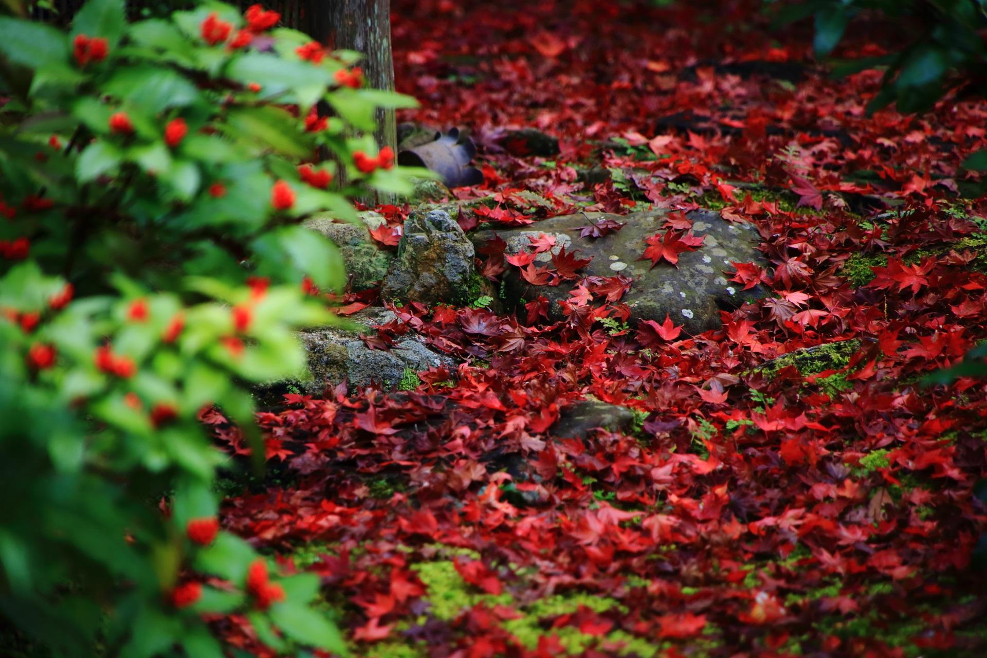 進みが早くだいぶ「散り」が入っている実相院の庭園の紅葉