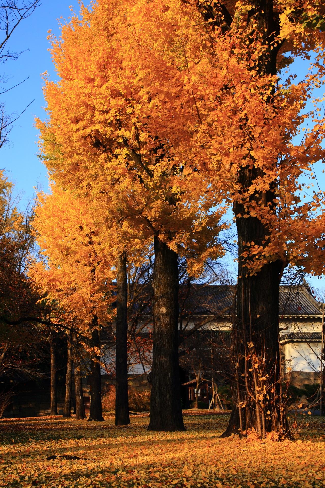 上も下も銀杏の煌く秋色に染まる二条城