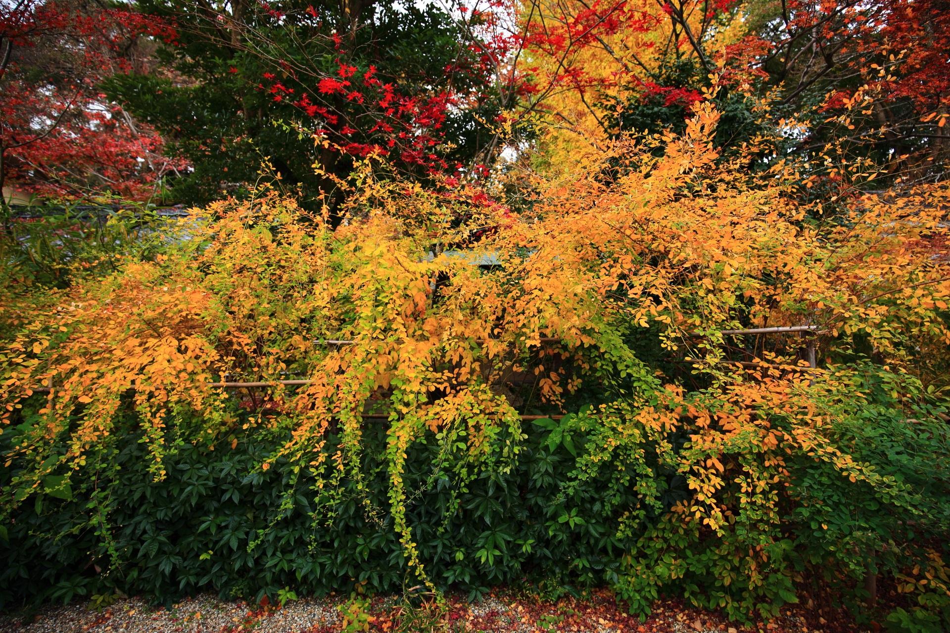 もみじだけでなく萩も黄色く色づく梨木神社
