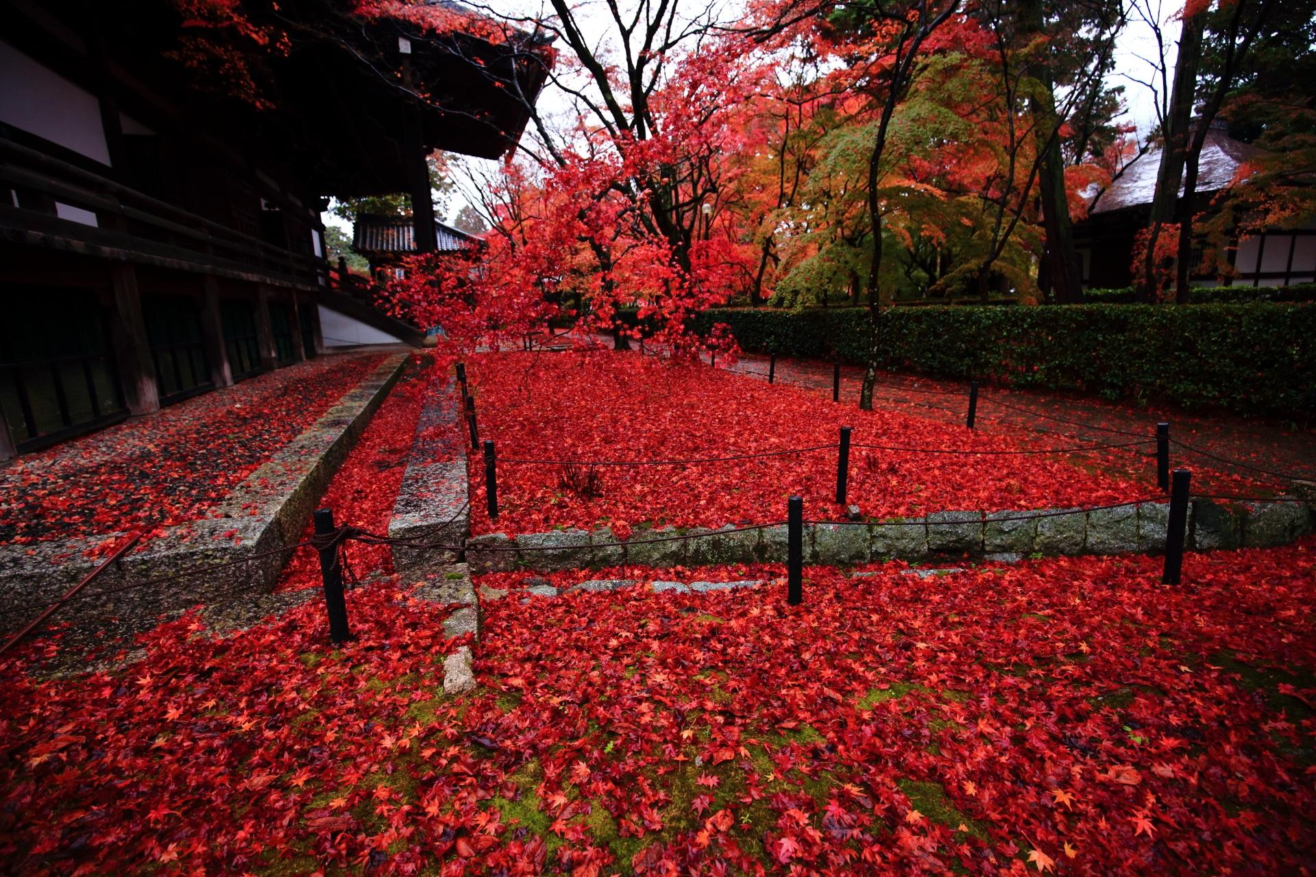雨降る早朝の静かな境内を彩る激しい散りもみじ