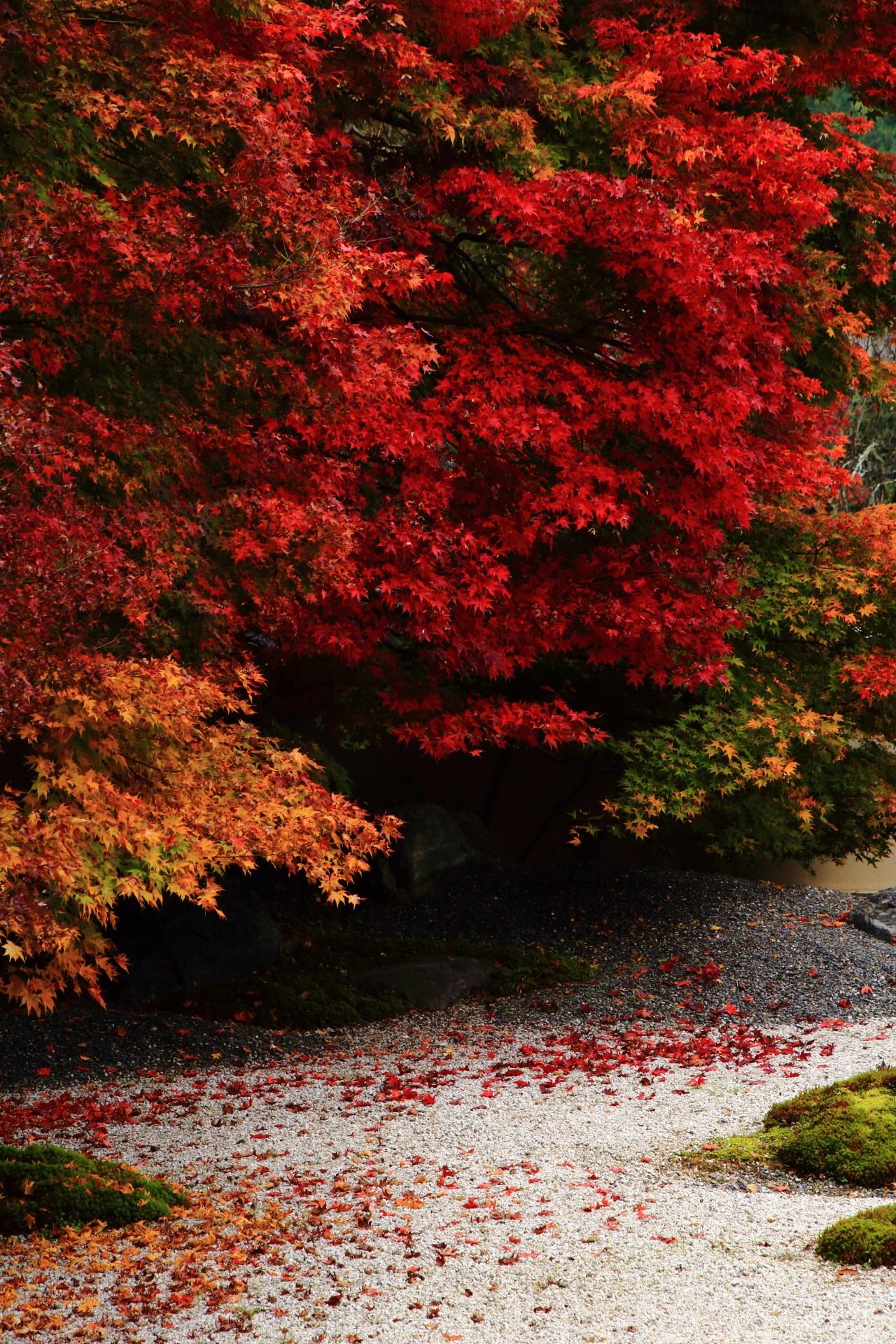 迫力の紅葉につつまれる秋の実相院門跡