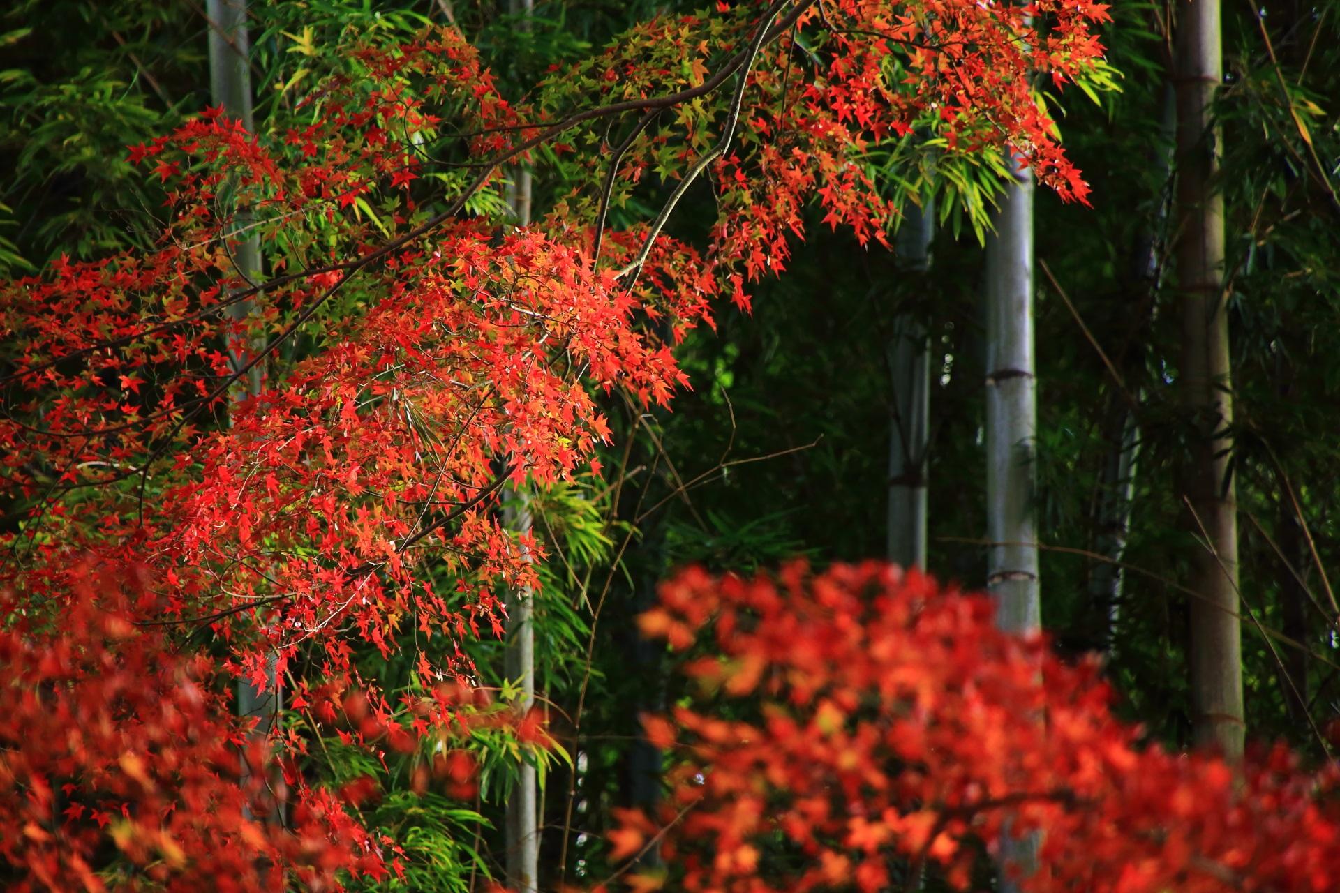 竹の間で鮮やかに華やぐ繊細な紅葉