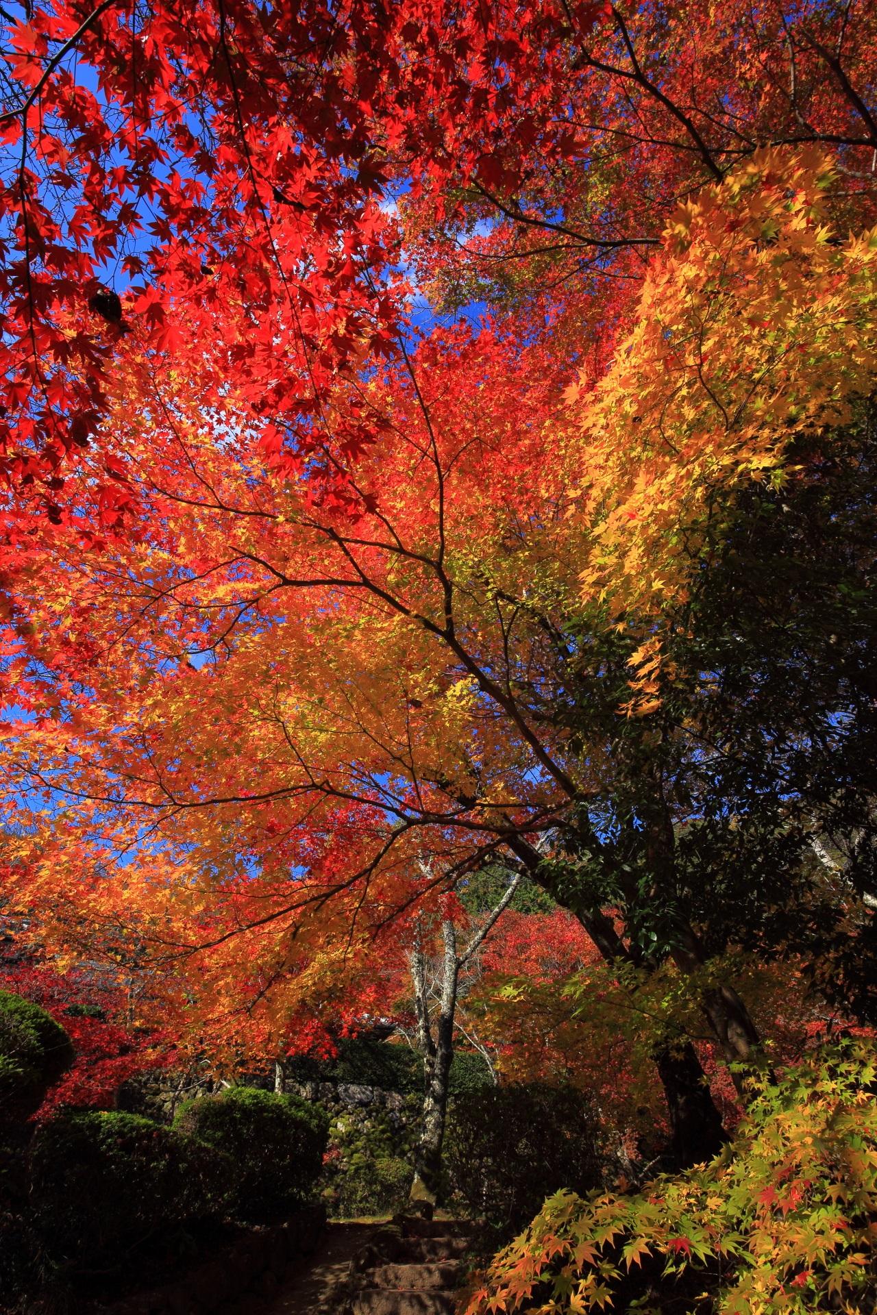 光を受けて青空に輝く絶品の紅葉