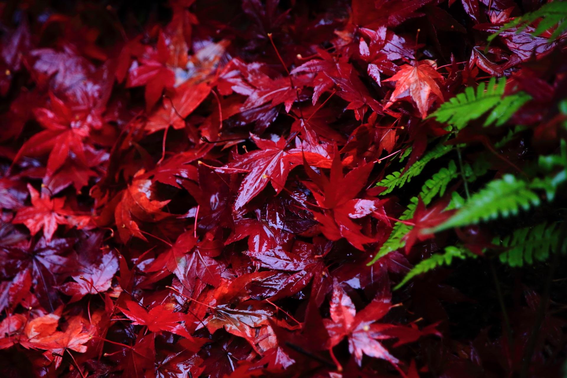 雨の力で美しさと輝きを増した散紅葉