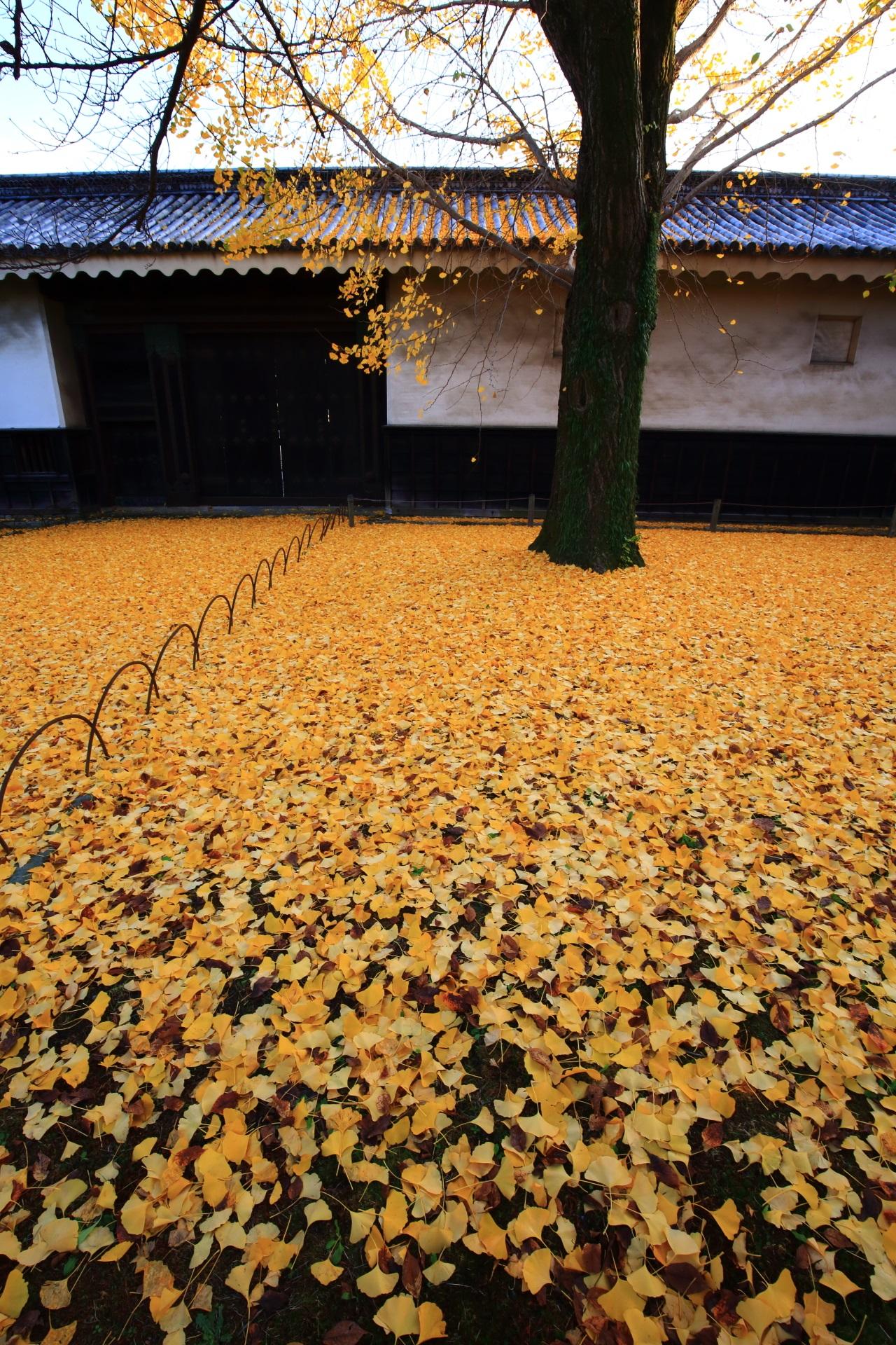 二条城の素晴らしい銀杏と紅葉と秋色の情景