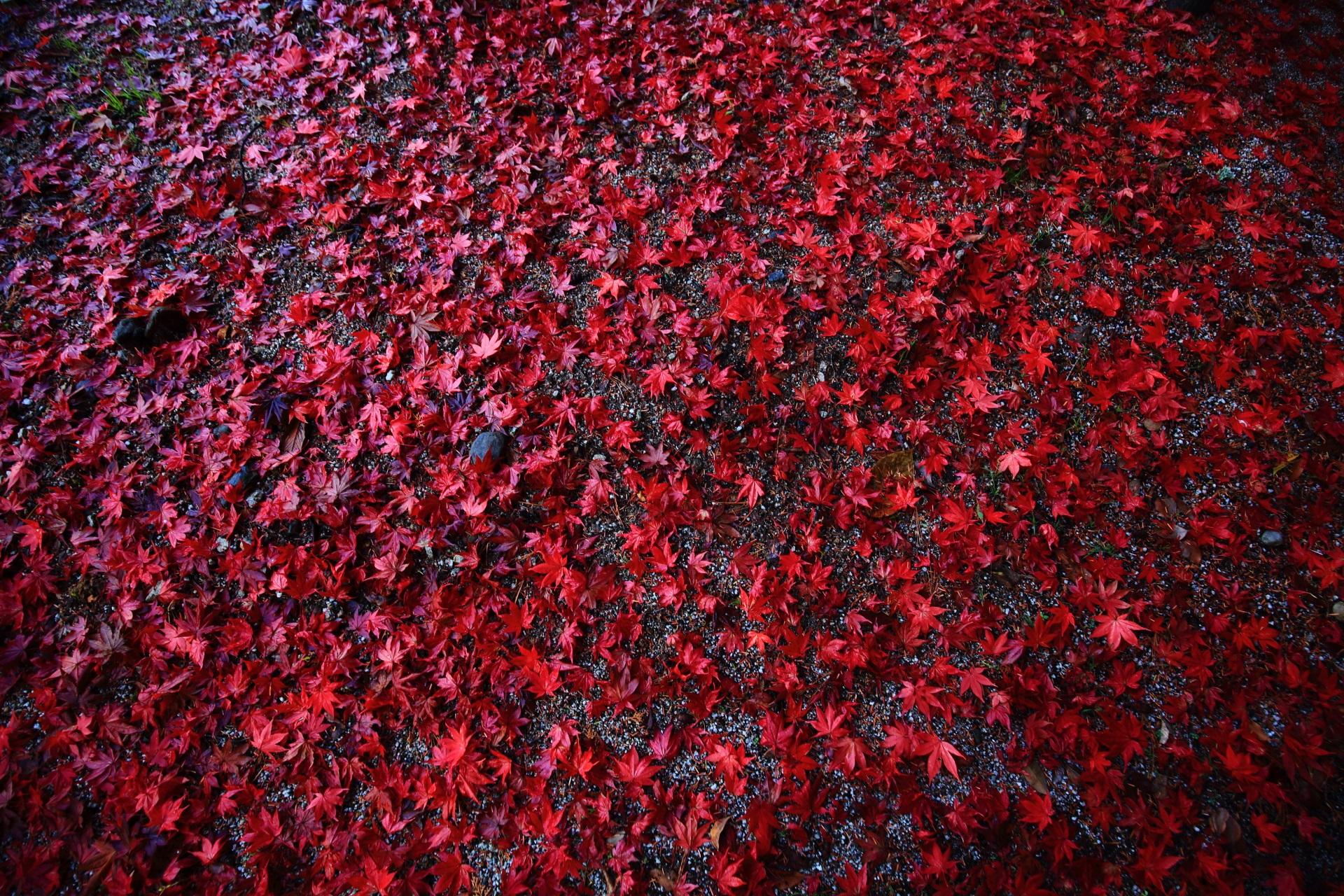 上賀茂神社の鮮烈な真っ赤な散りもみじ